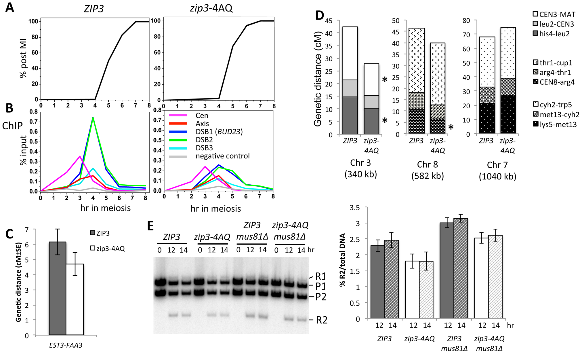 Mutation of the Zip3 consensus phosphorylation sites by Mec1/Tel1 kinases alters its association with DSB sites and decreases crossover levels.