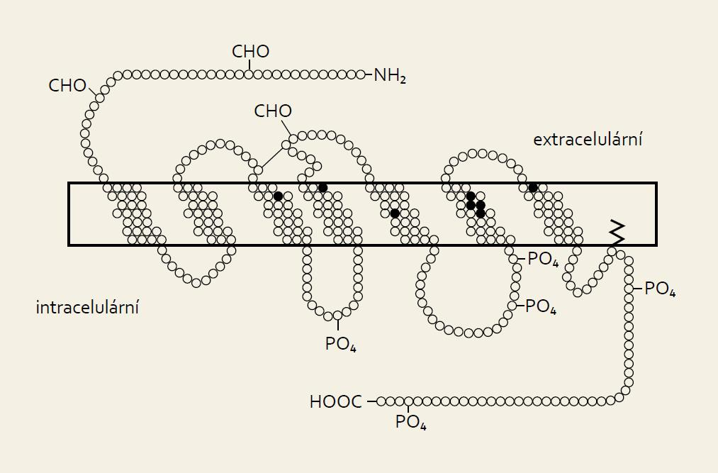 Struktura molekul obou forem somatostatinu. Fig. 1. Molecular structure of both forms of somatostatin.