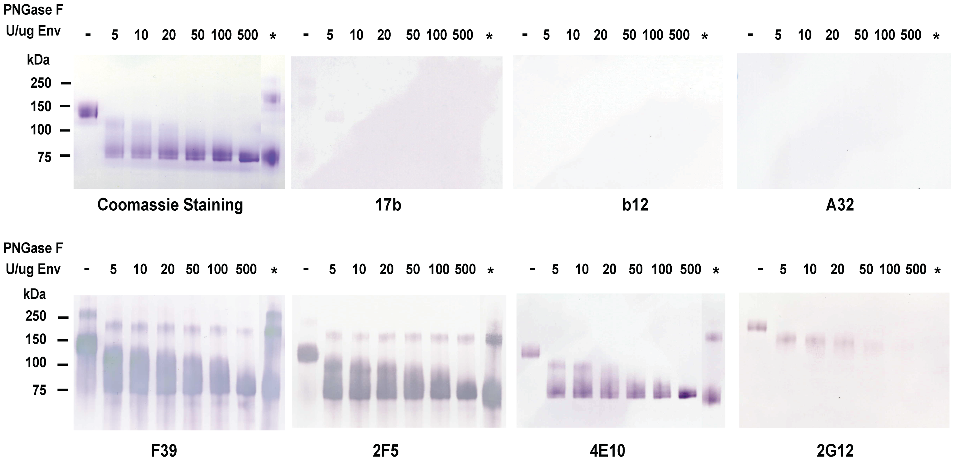 Analysis of deglycosylated JRFL protein in reducing SDS-PAGE and Western-blotting with a panel of HIV-1 MAbs.