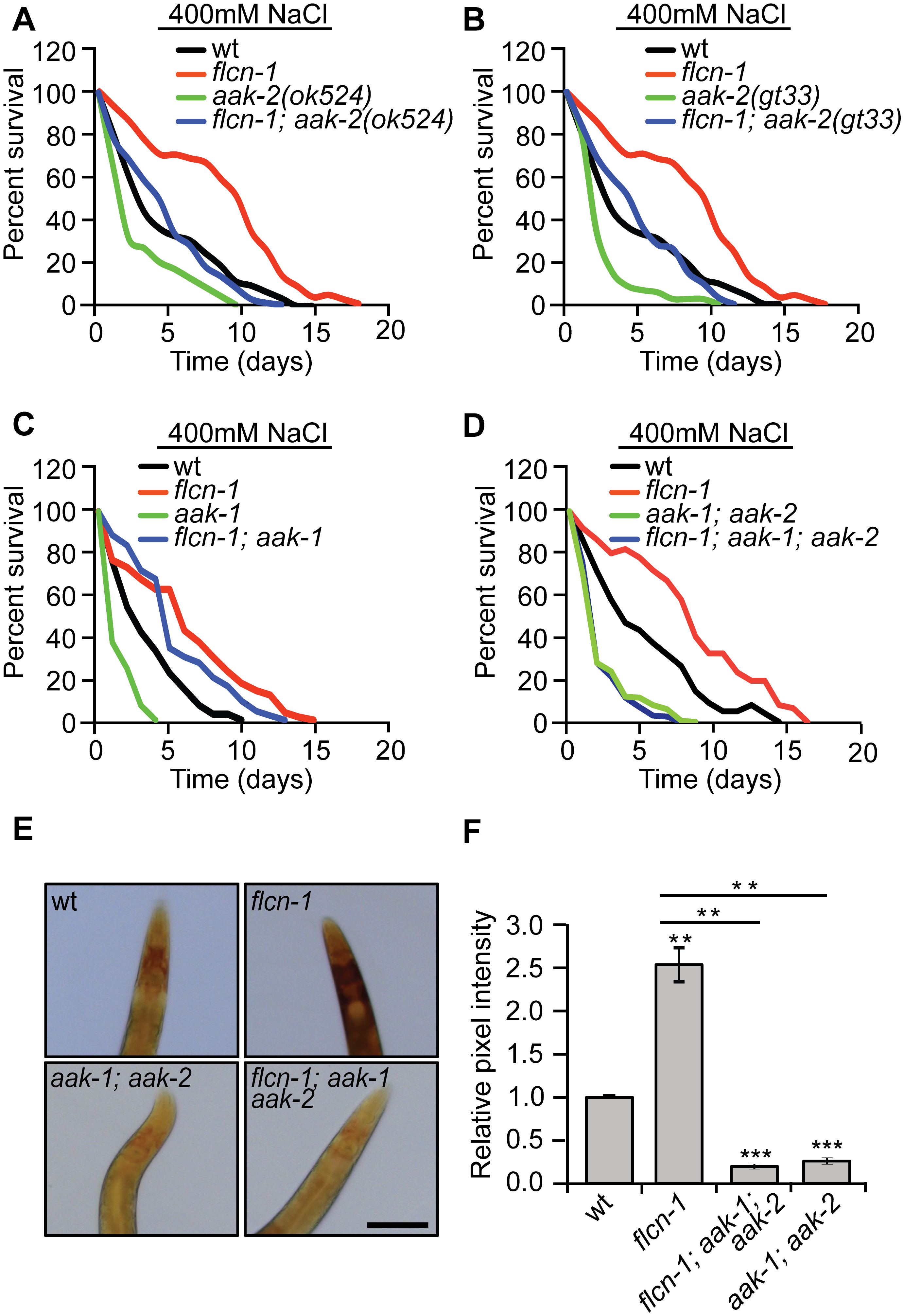 The increased survival to hyperosmotic stress and the accumulation of glycogen in <i>flcn-1</i> mutant worms require AMPK.