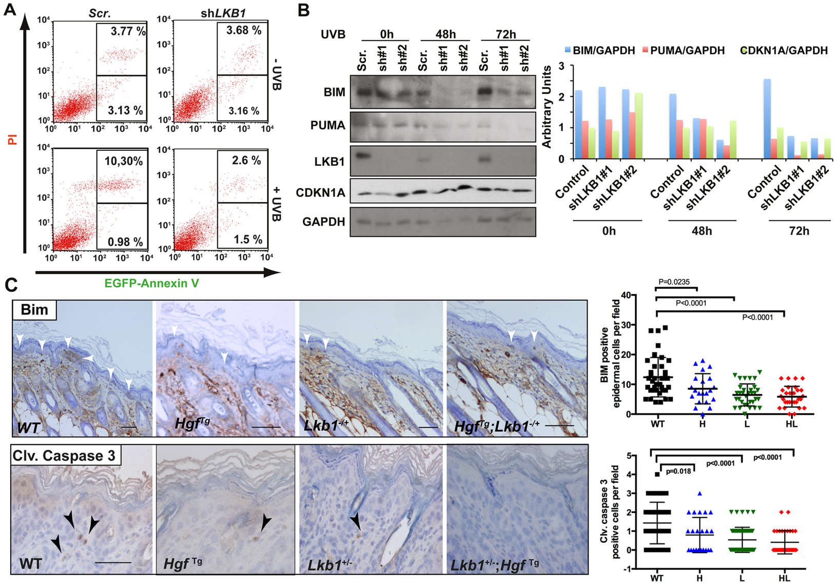 Loss of LKB1 and accumulation of CDKN1A in response to UVB contributes to keratinocyte transformation and resistance to UVB-induced apoptosis.