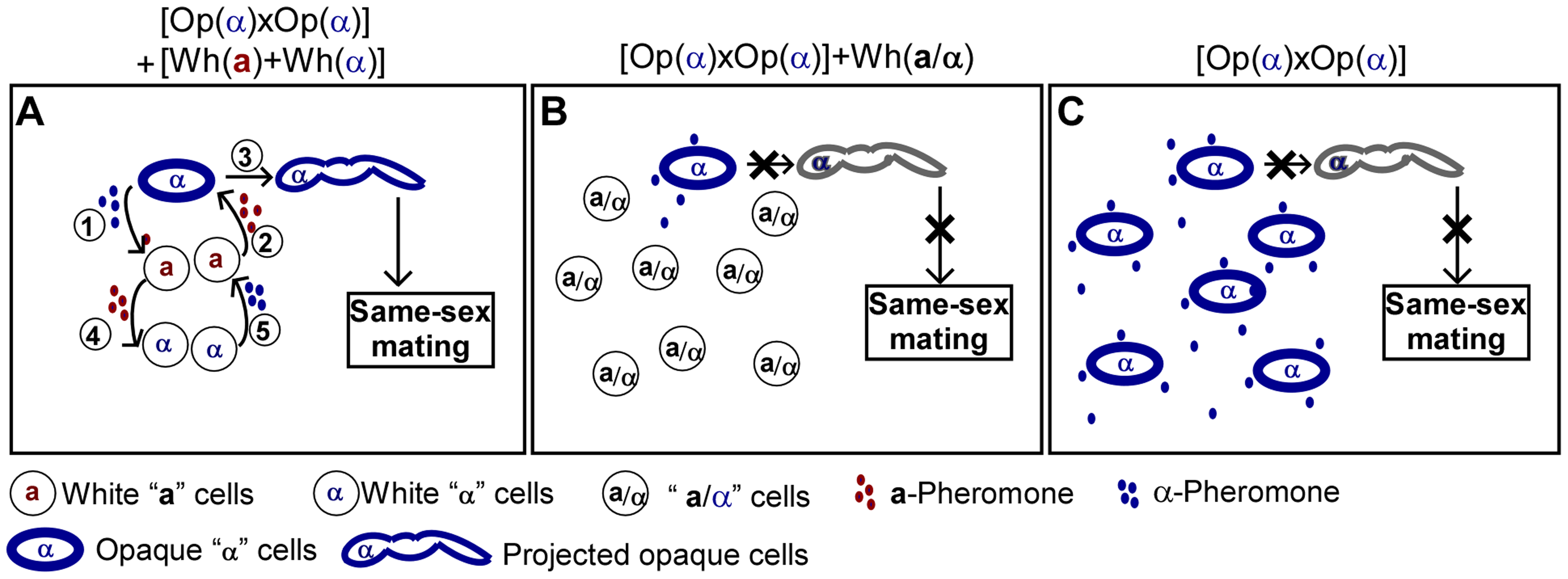 Schematic models depicting that white cells facilitate same-sex mating of opaque cells.
