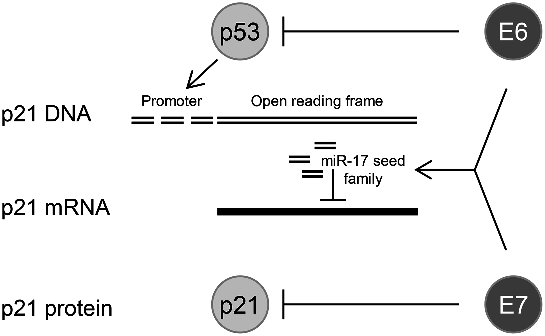 HPV oncogenes control <i>p21</i> expression at multiple levels.