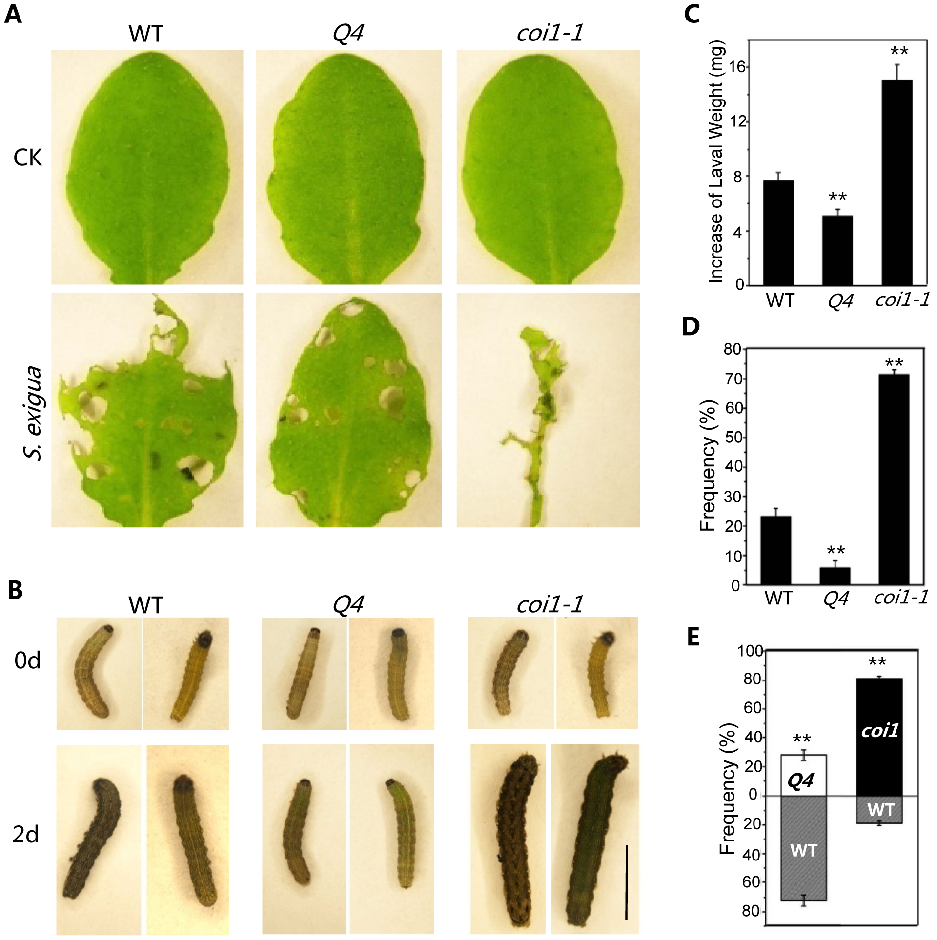 The <i>bhlh3 bhlh13 bhlh14 bhlh17</i> quadruple mutant exhibited enhanced JA-mediated plant defense against insect.