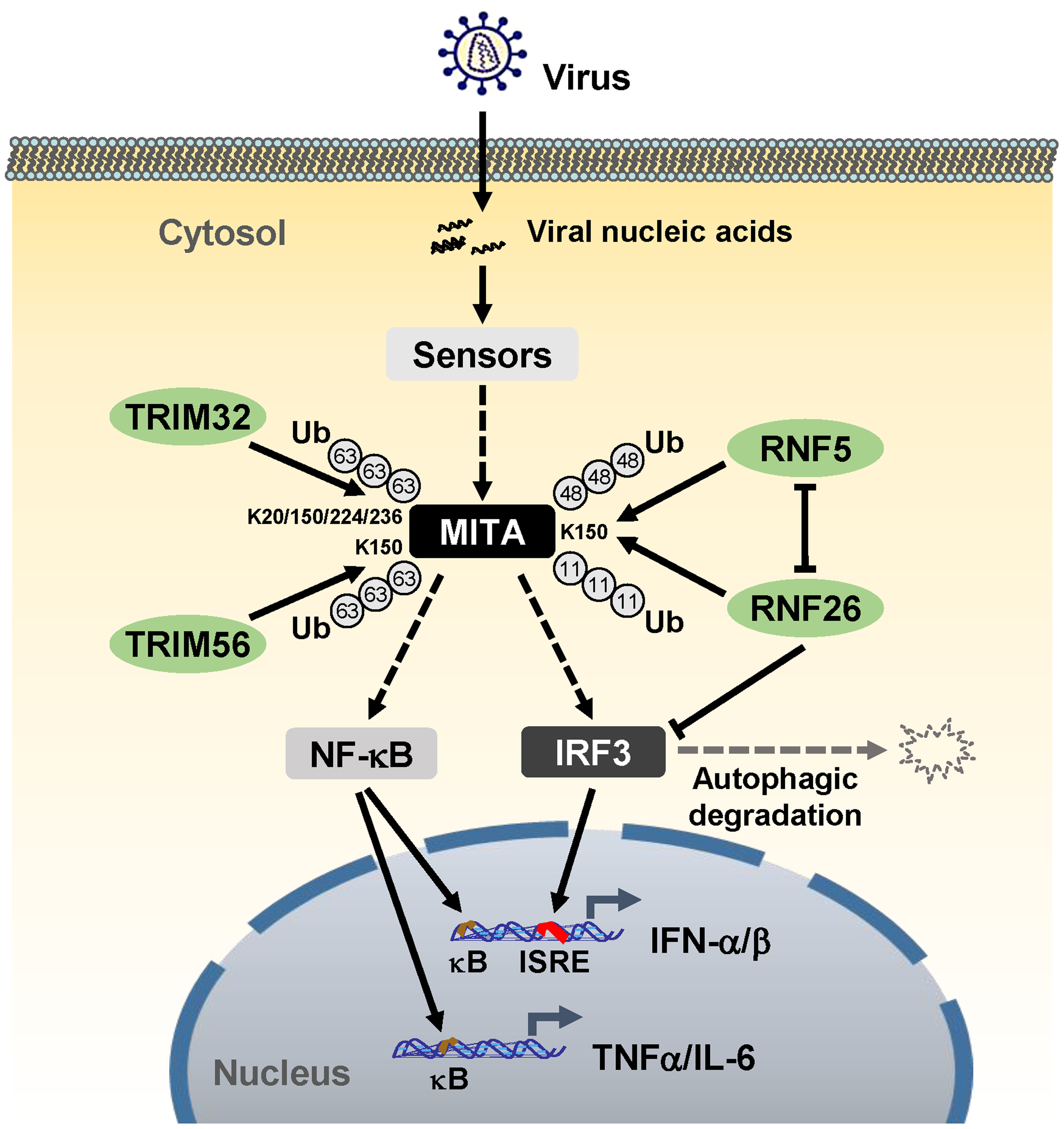 A model on the roles of RNF26 in virus-triggered induction of downstream genes.