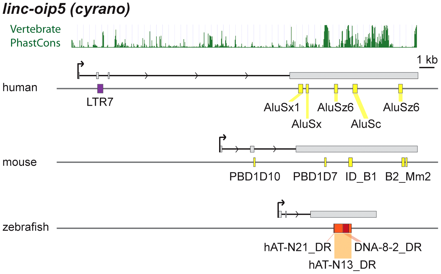 Lineage-specific TE insertions in <i>cyrano</i>.