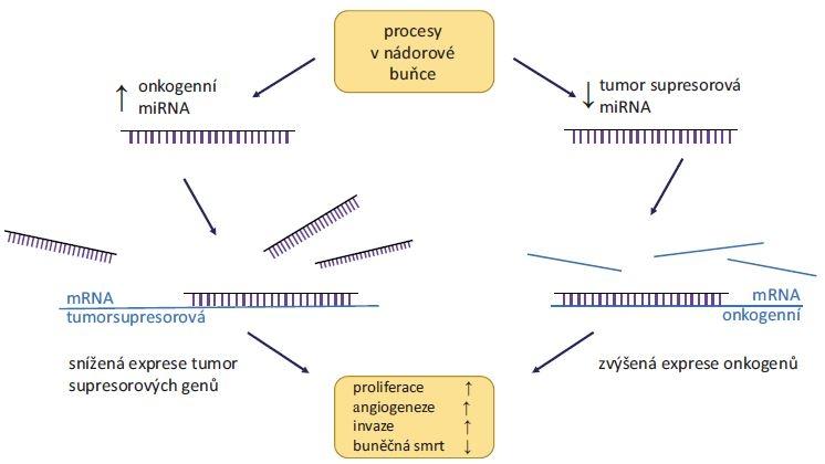 Role miRNA v karcinogenezi.