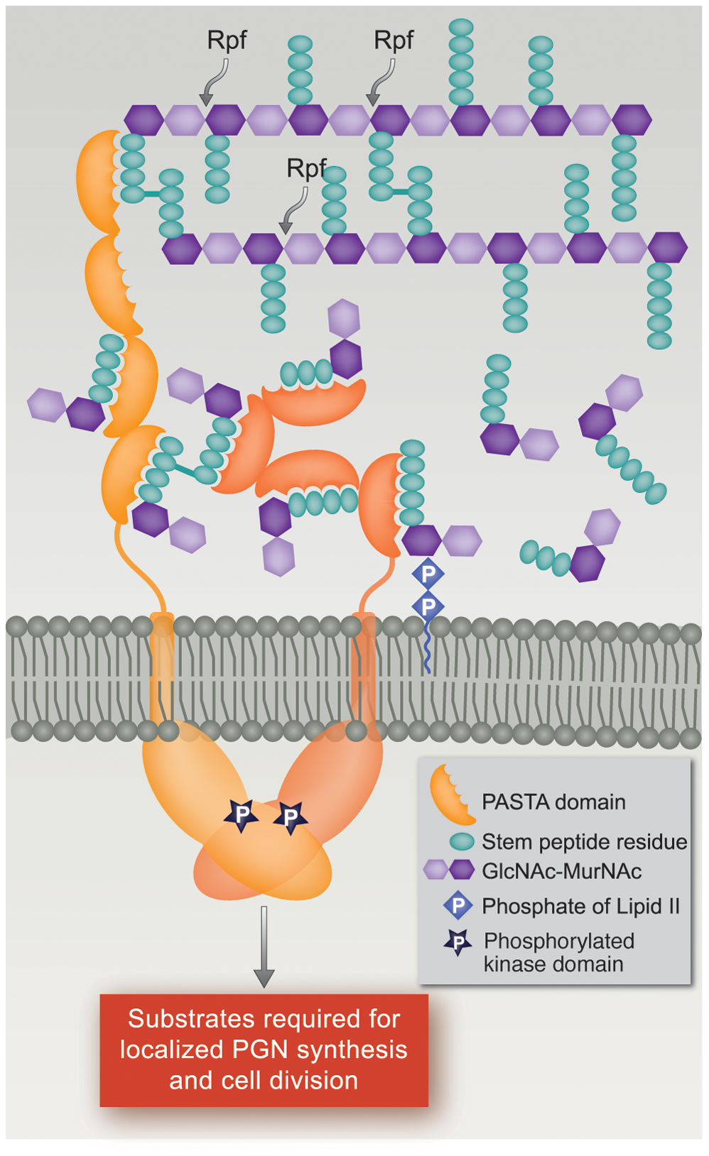 Model of PknB localization and activation by interaction of its extracytoplasmic domain with peptidoglycan fragments.
