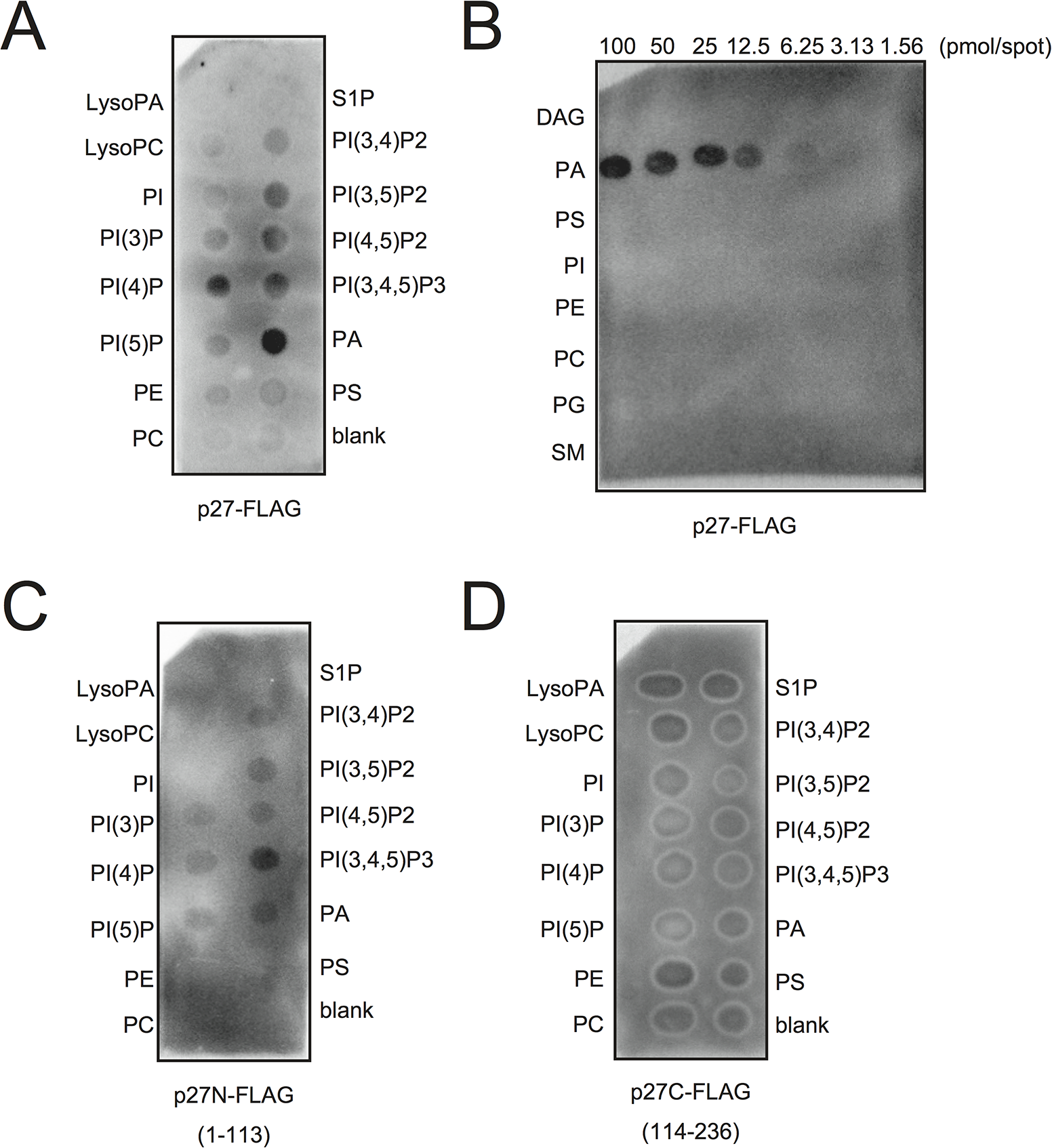p27 interacts with PA <i>in vitro</i>.