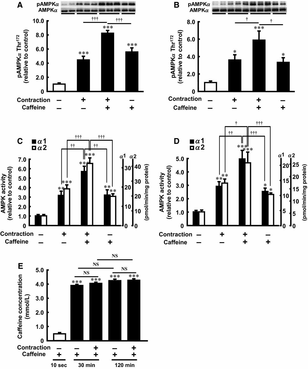 Figure 1. Effect of caffeine on contraction‐stimulated AMPKα Thr<sup>172</sup> phosphorylation and AMPK activity in incubated rat skeletal muscle. Isolated epitrochlearis muscle was preincubated and incubated for 30 min (A and C) or 120 min (B and D) in the absence (−) or presence (+) of 3 mmol/L caffeine. The muscle was tetanically contracted during the last 10 min of the incubation period and then subjected to western blot analysis (A and B) or an isoform‐specific AMPK activity assay (C and D). Intracellular caffeine concentration was measured after incubation in the presence of 3 mmol/L caffeine for up to 120 min with or without electrical stimulation (E). Values are mean ± SE; n = 5–10 per group. *P < 0.05, **P < 0.01, ***P < 0.001 versus control; <sup>†</sup>P < 0.05, <sup>††</sup>P < 0.01, <sup>†††</sup>P < 0.001 versus contraction plus caffeine. AMPKα, 5′‐Adenosine monophosphate‐activated protein kinase α; NS, not significant.
