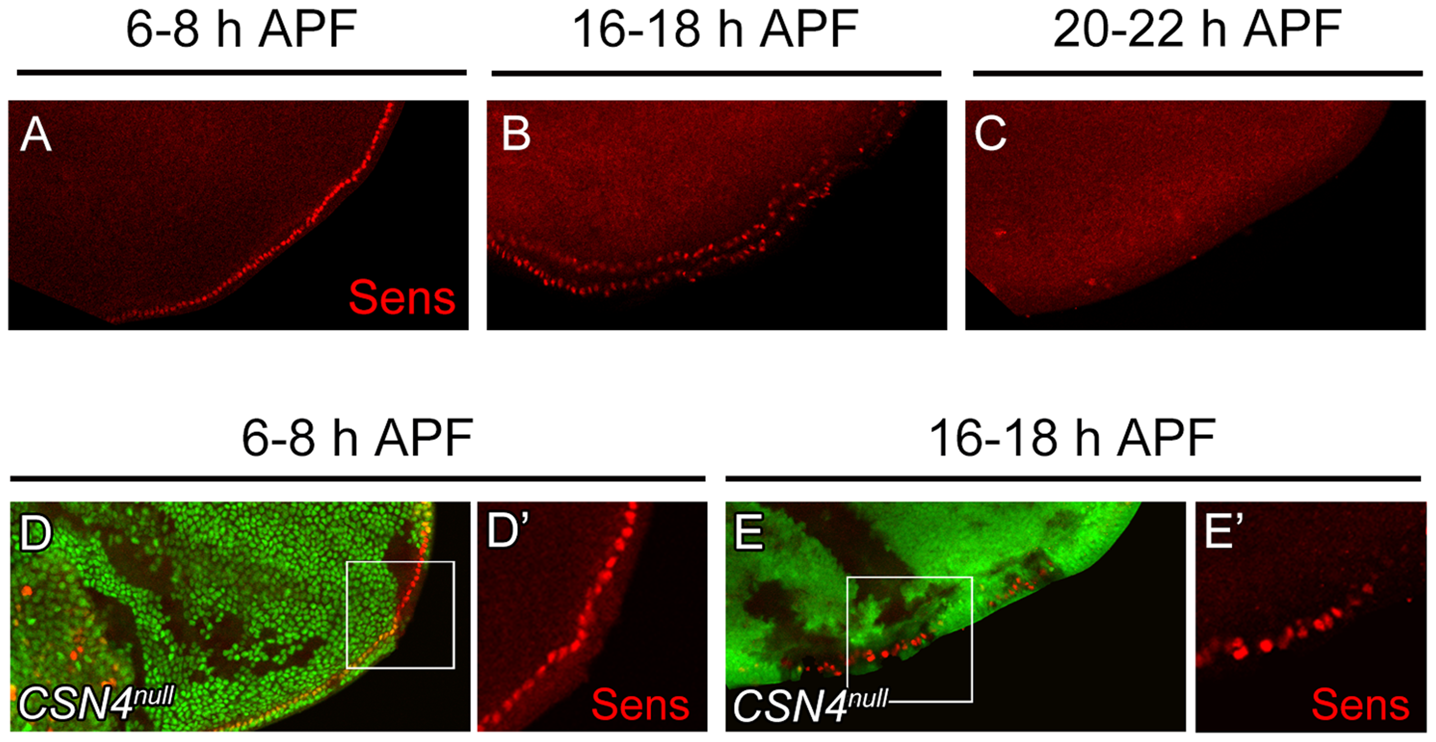 Temporal regulation of Sens expression by CSN4.