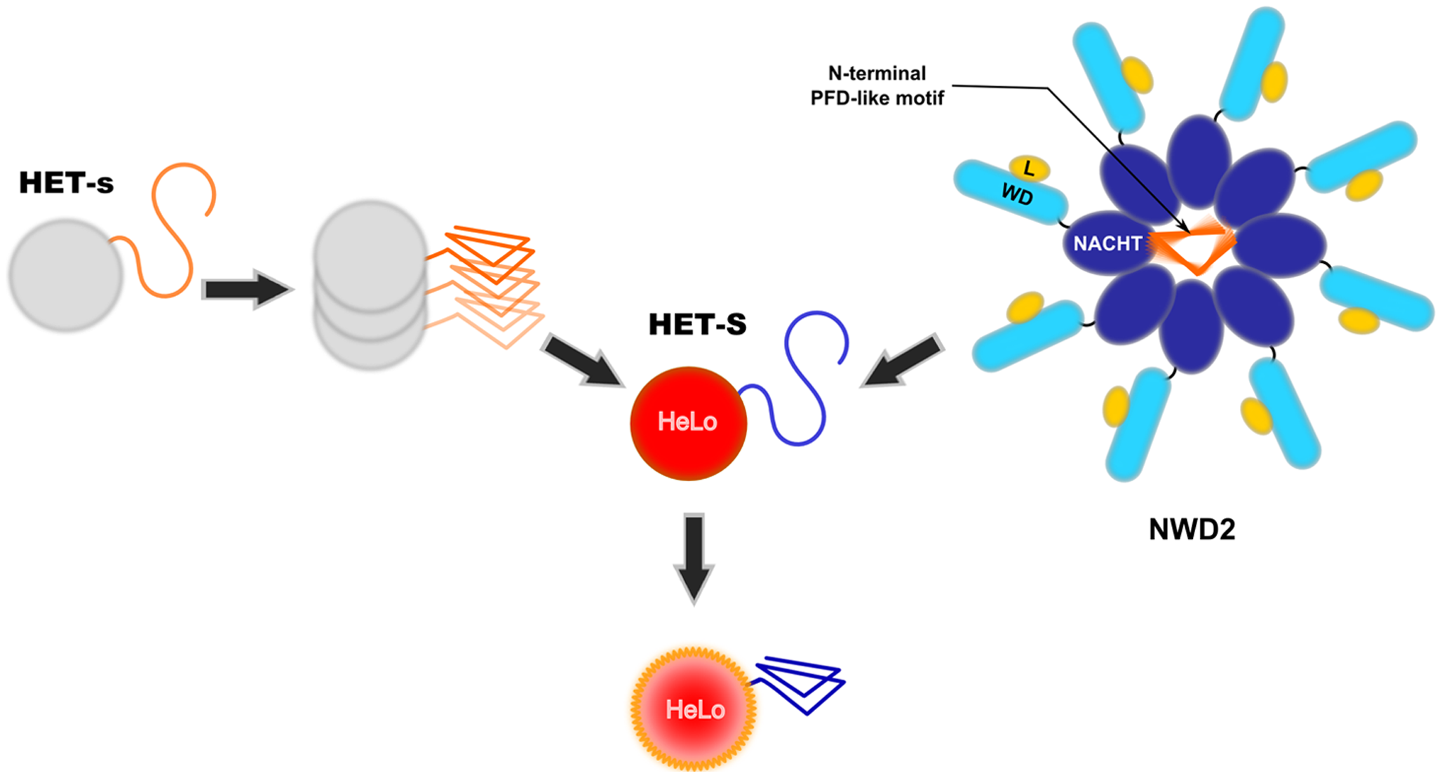 Two proposed mode of activation of the HeLo toxicity domain of HET-S.
