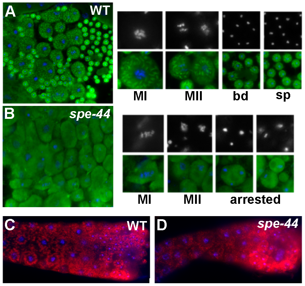Organelle assembly defects in <i>spe-44</i> sperm.