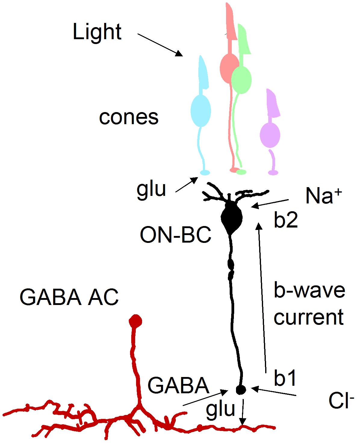 GABA-dependent mechanism for enlarged b-wave.