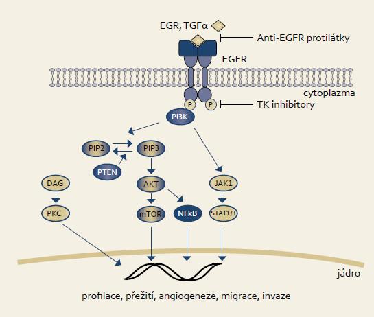 EGFR signální dráha. Fig. 2. EGFR signaling pathway.