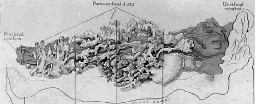 Huffmanův voskový model ženské prostaty, longitudinální pohled (zdroj: Huffman, J. The detailed anatomy of the paraurethral ducts in the adult human female. Am J Obstet Gynecol, 1948, 55, p. 86–101)