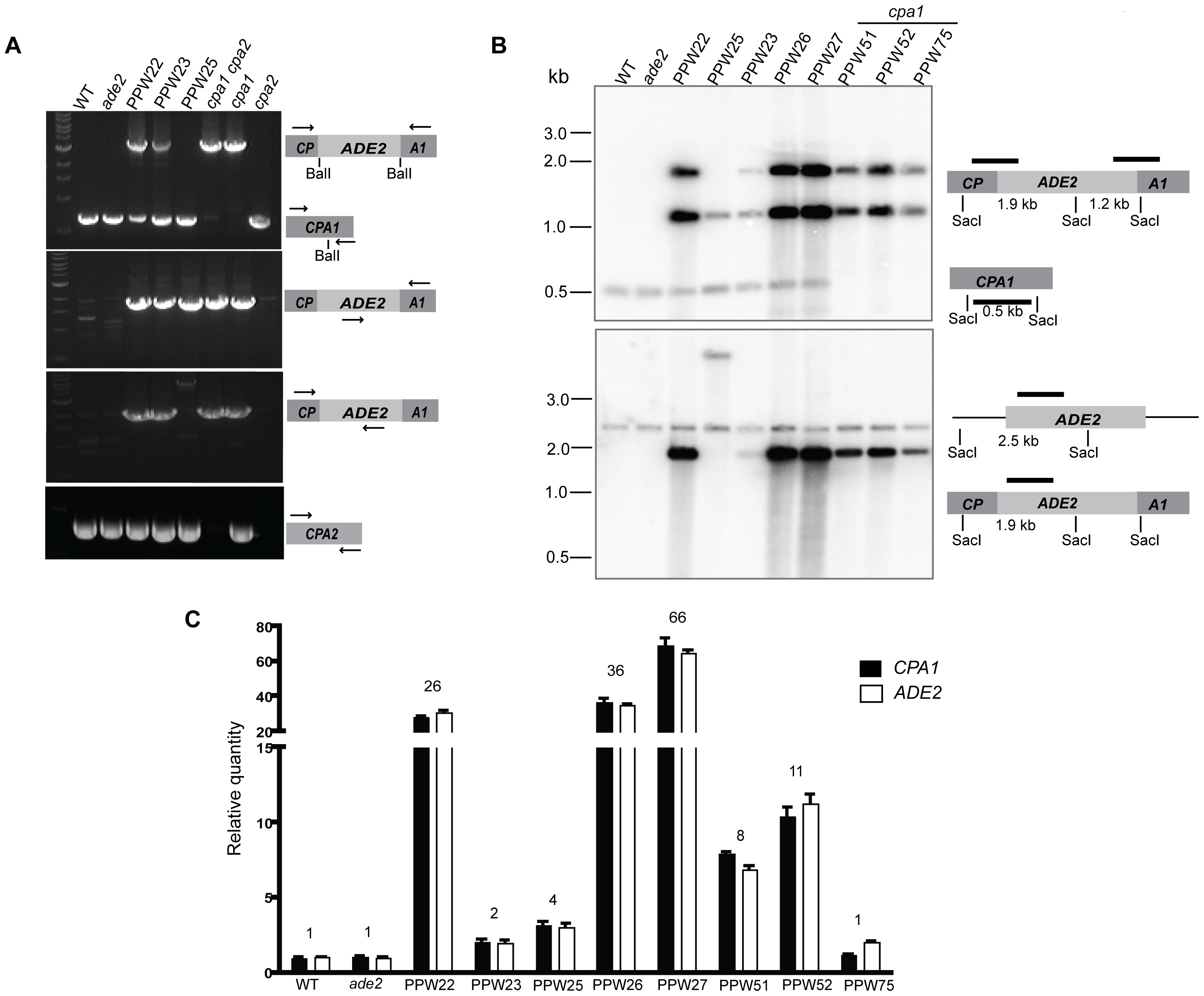 The <i>cpa1::ADE2</i> transgenes are ectopically integrated into the genome of the transformed strains in different copy numbers.