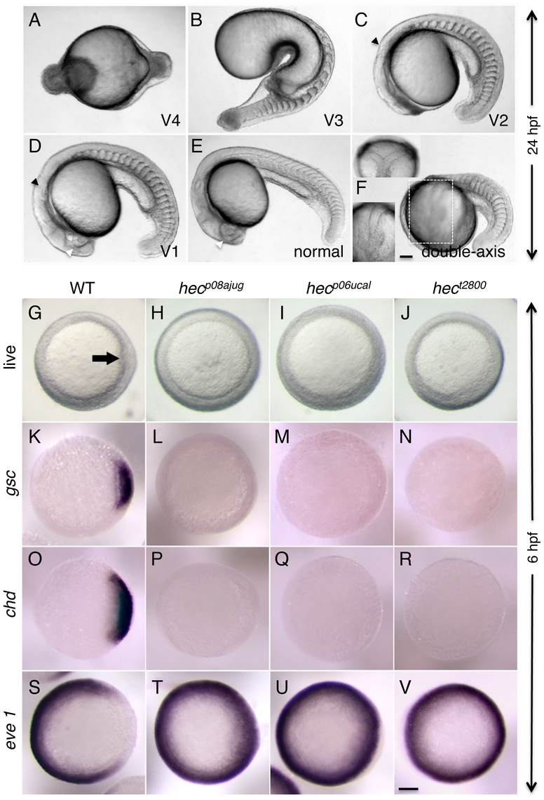 Axis induction defects in embryos from mothers homozygous for three different <i>hecate</i> mutant alleles.