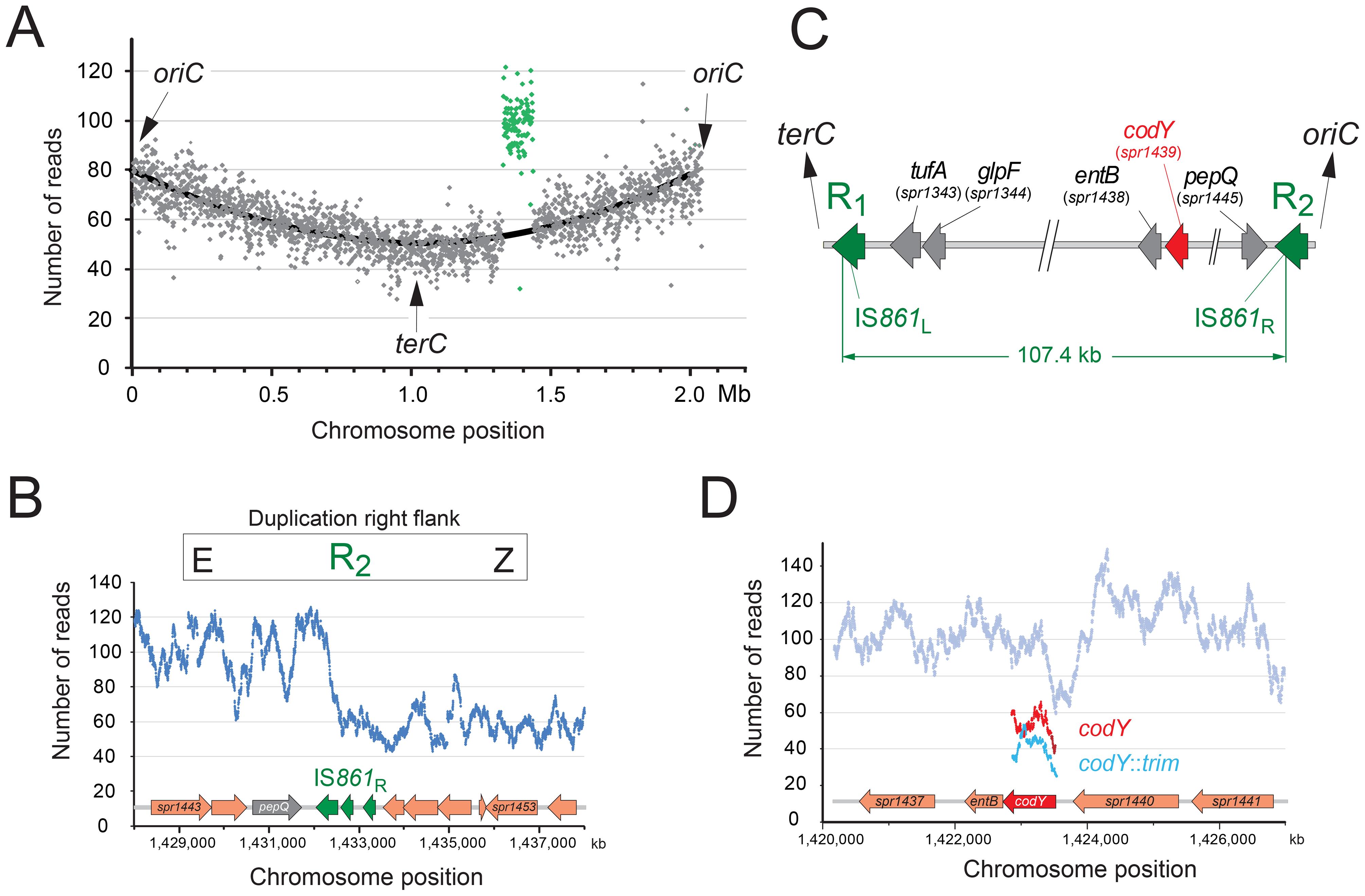 R2597 harbors a duplication of the <i>codY</i> chromosomal region.