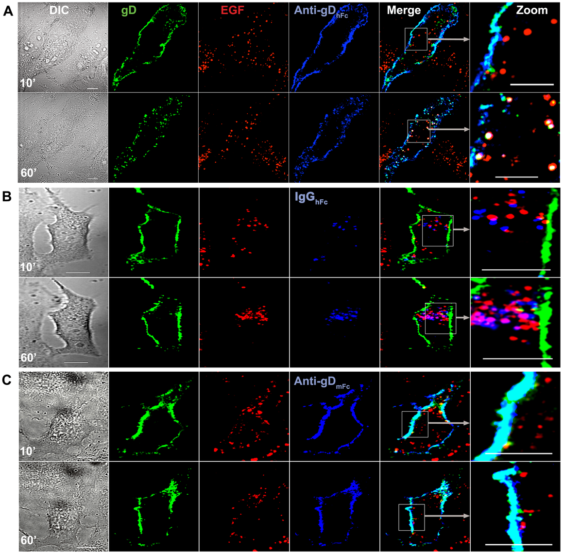Lysosomal trafficking of HSV-1 gD and IgG under ABB-permissive and non-permissive conditions.