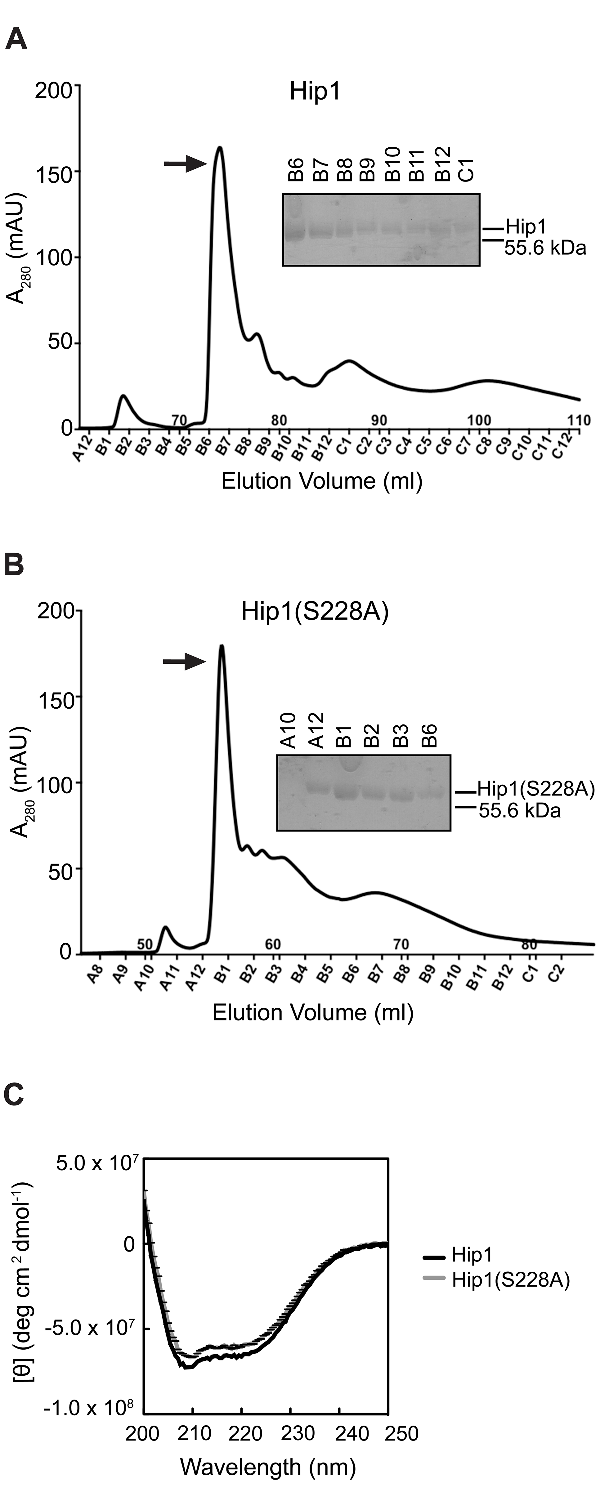 Purification of Hip1 and Hip1(S228A) by ion exchange chromatography.