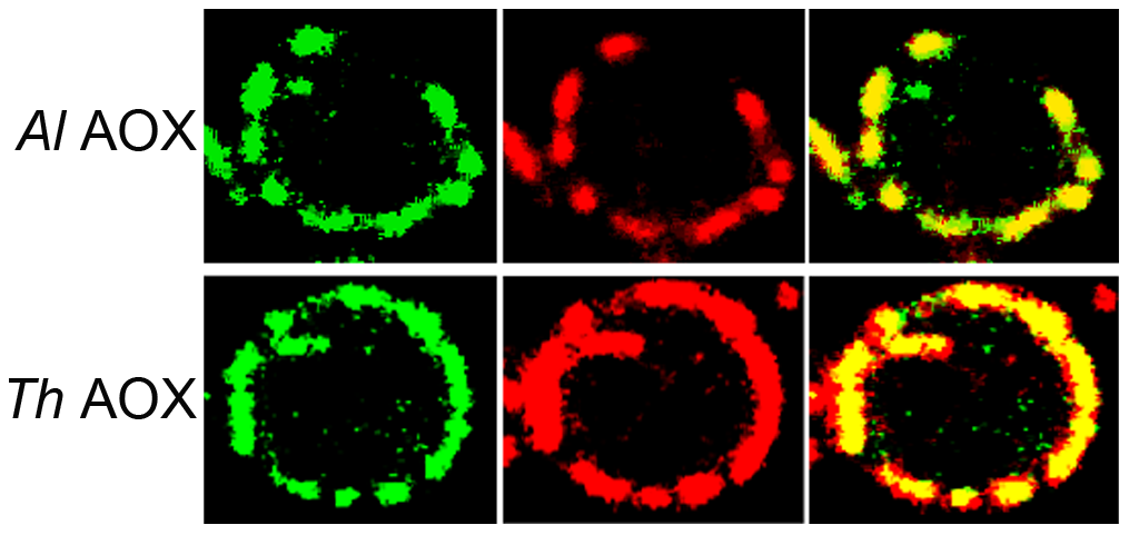 Transfection of <i>S. cerevisiae</i> cells with AOX-GFP constructs.