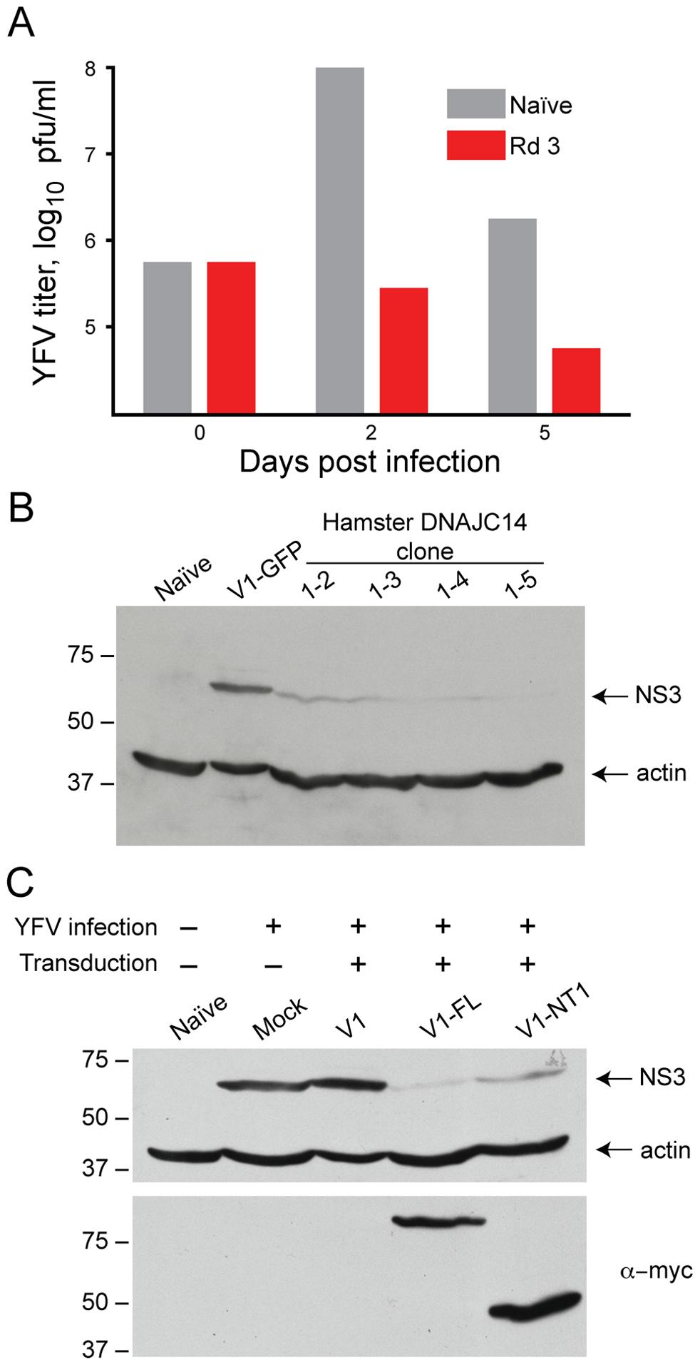 DNAJC14 inhibits YFV replication.