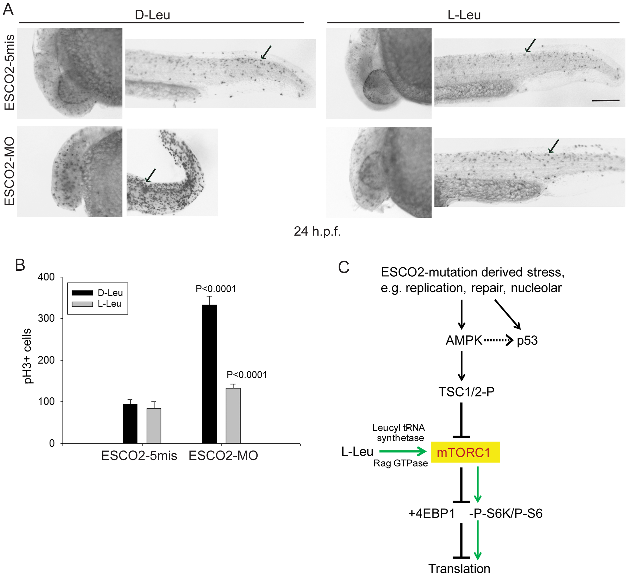 ESCO2 depletion in zebrafish is associated with an increase in phospho-H3 staining, and L-leucine partially rescues the increase.