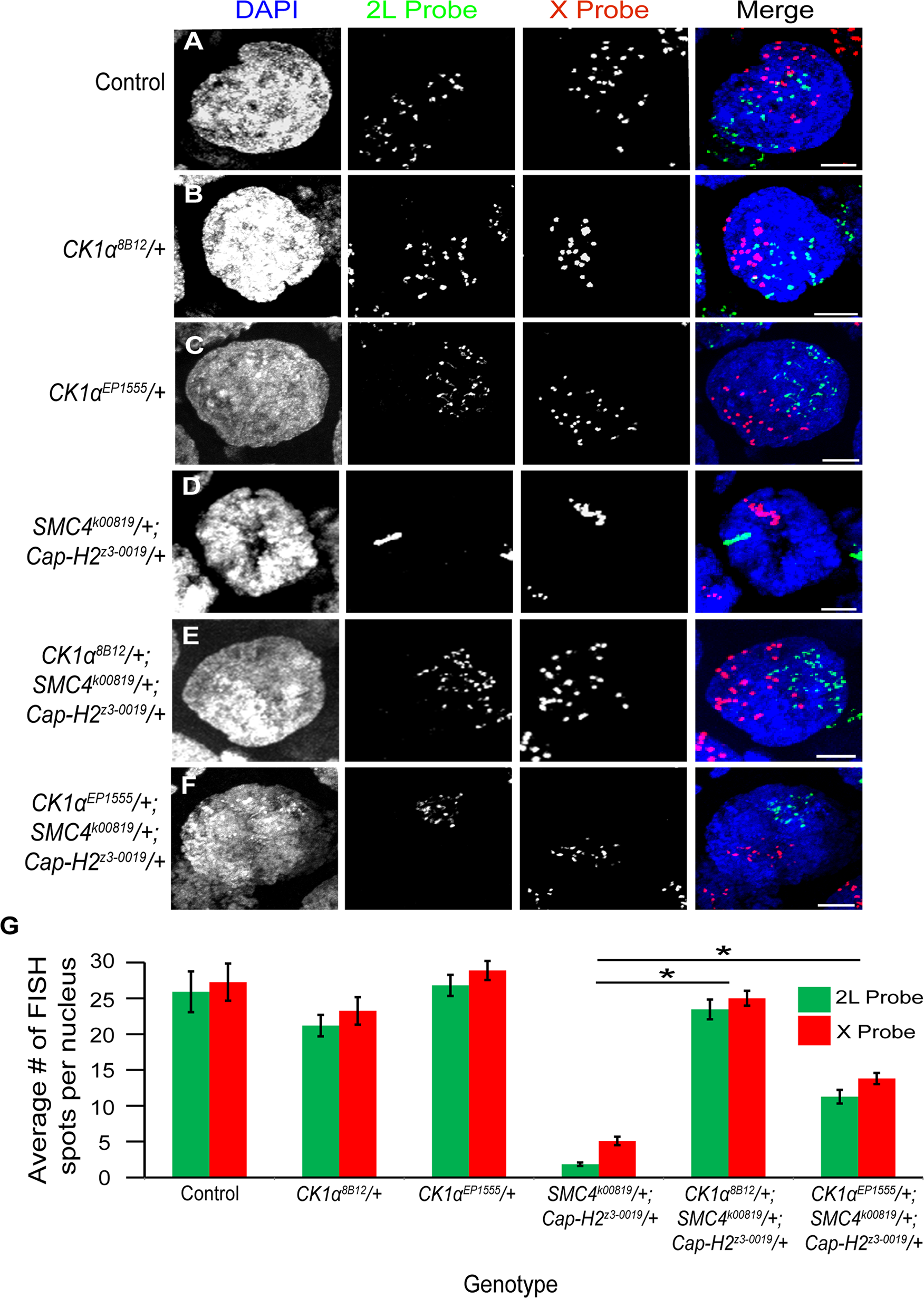 CK1α mutations suppress condensin II loss of function unpairing phenotype in polyploid nurse cells.