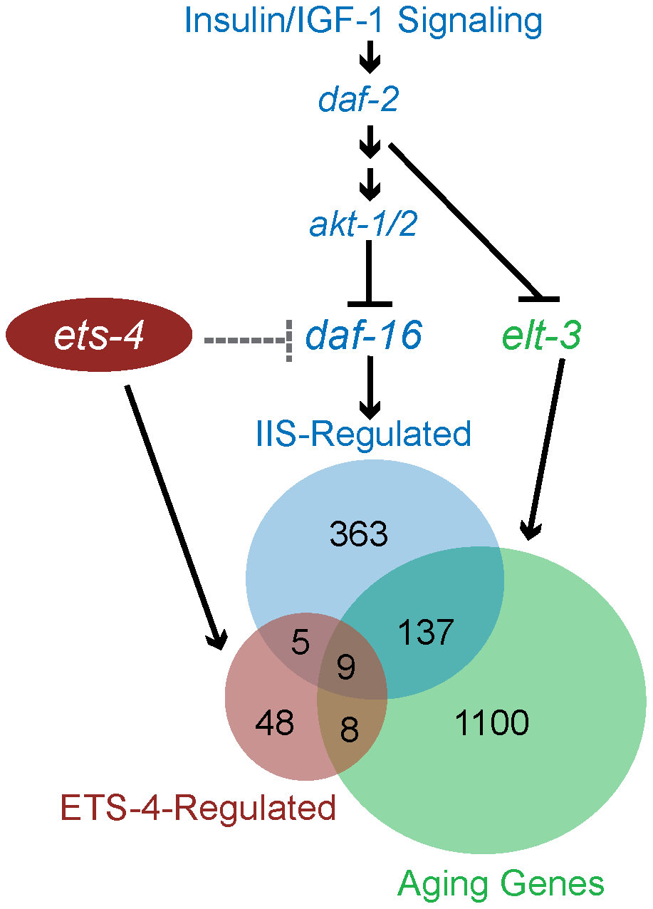 Model for ETS-4 function as a transcriptional regulator.