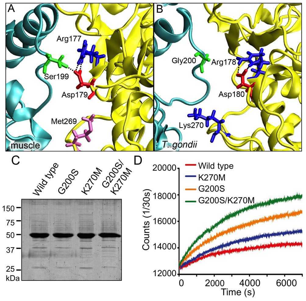 Identification of single substitutions within TgACTI that affect filament stability.