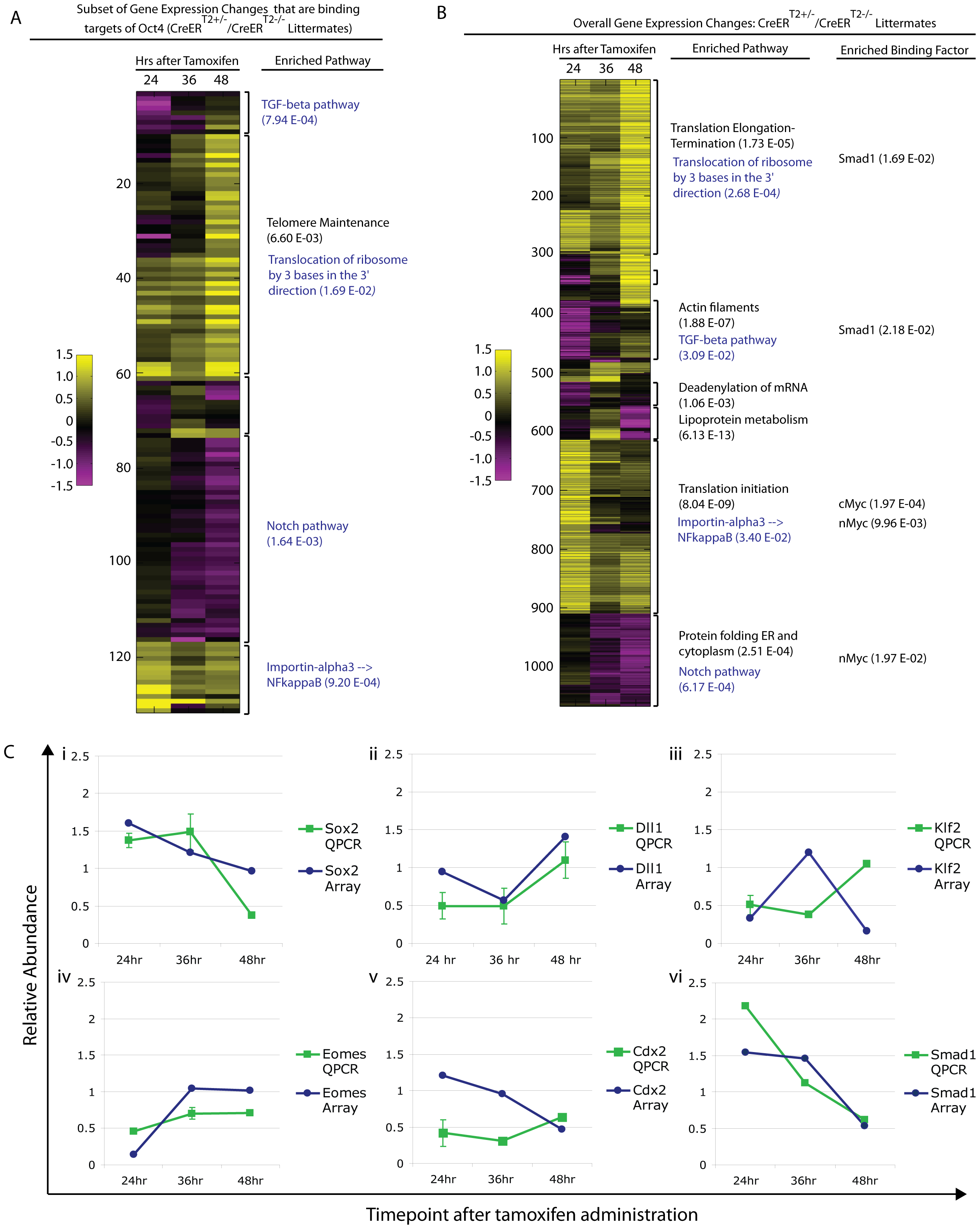 Pathway enrichment and confirmation of a subset of differentially expressed genes following Oct4 depletion.