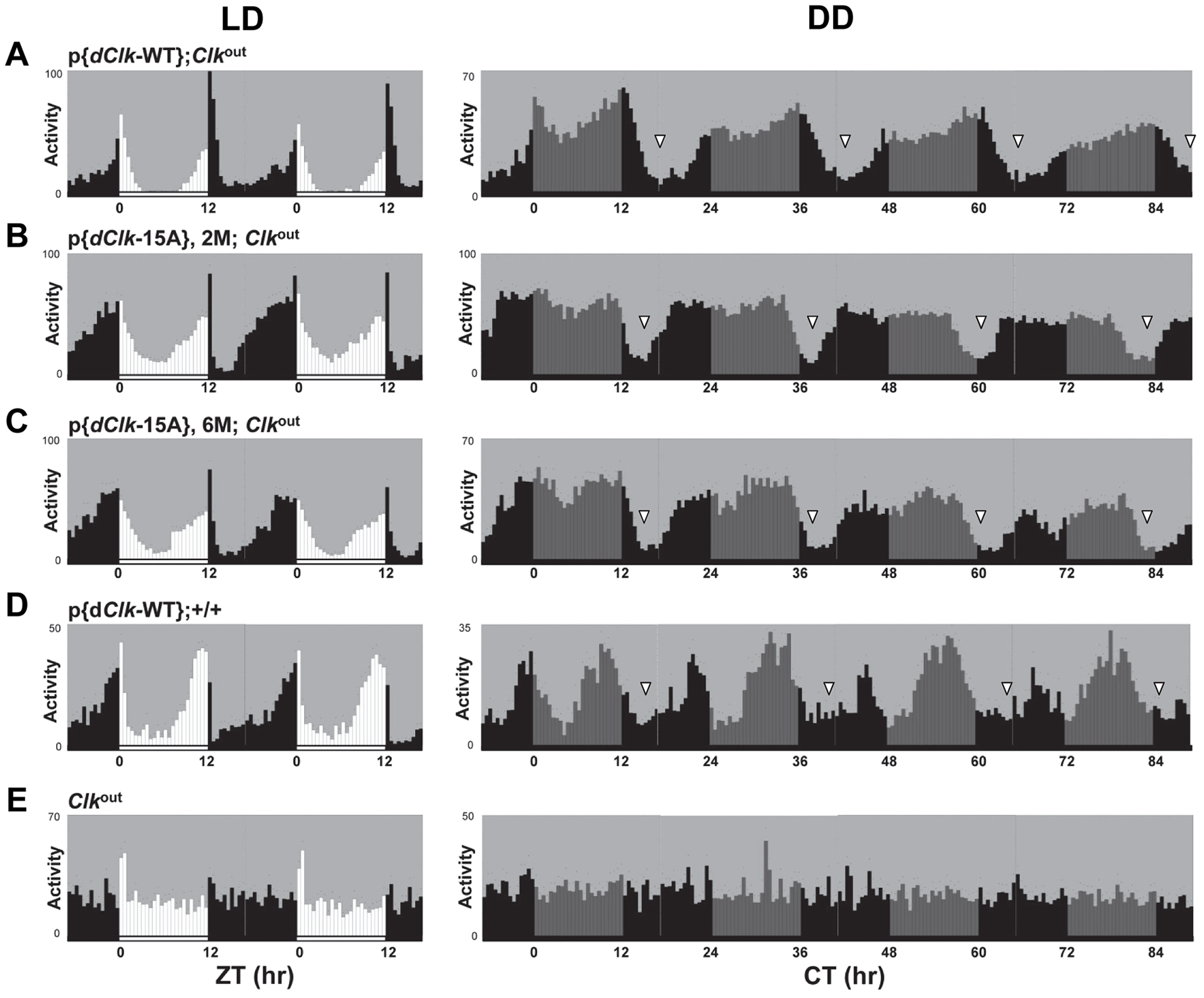 (A–E) The p{<i>dClk</i>-15A};<i>Clk</i><sup>out</sup> flies manifest short period behavioral rhythms.