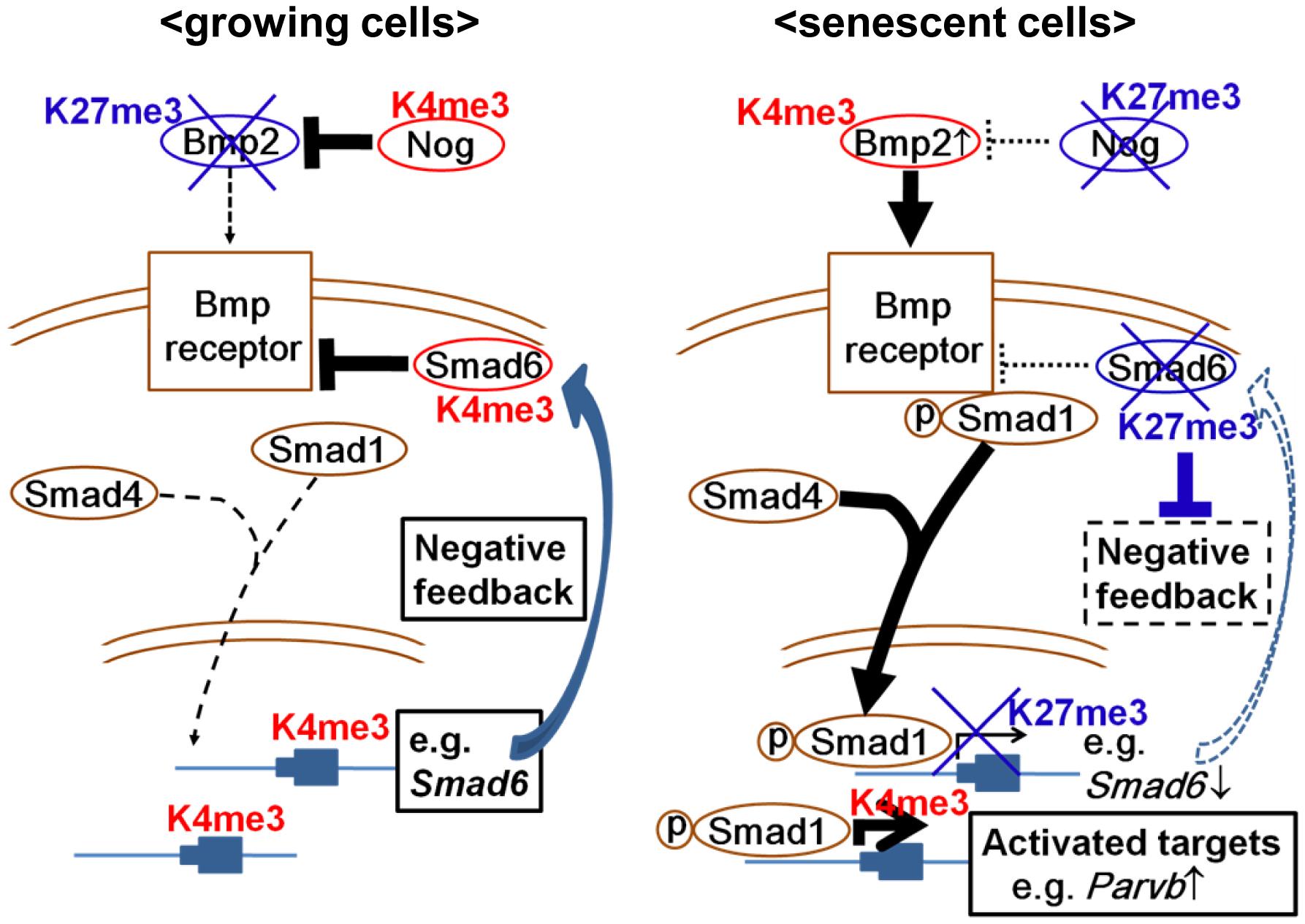 Schema of epigenetic regulation of Bmp2/Smad1 signal.