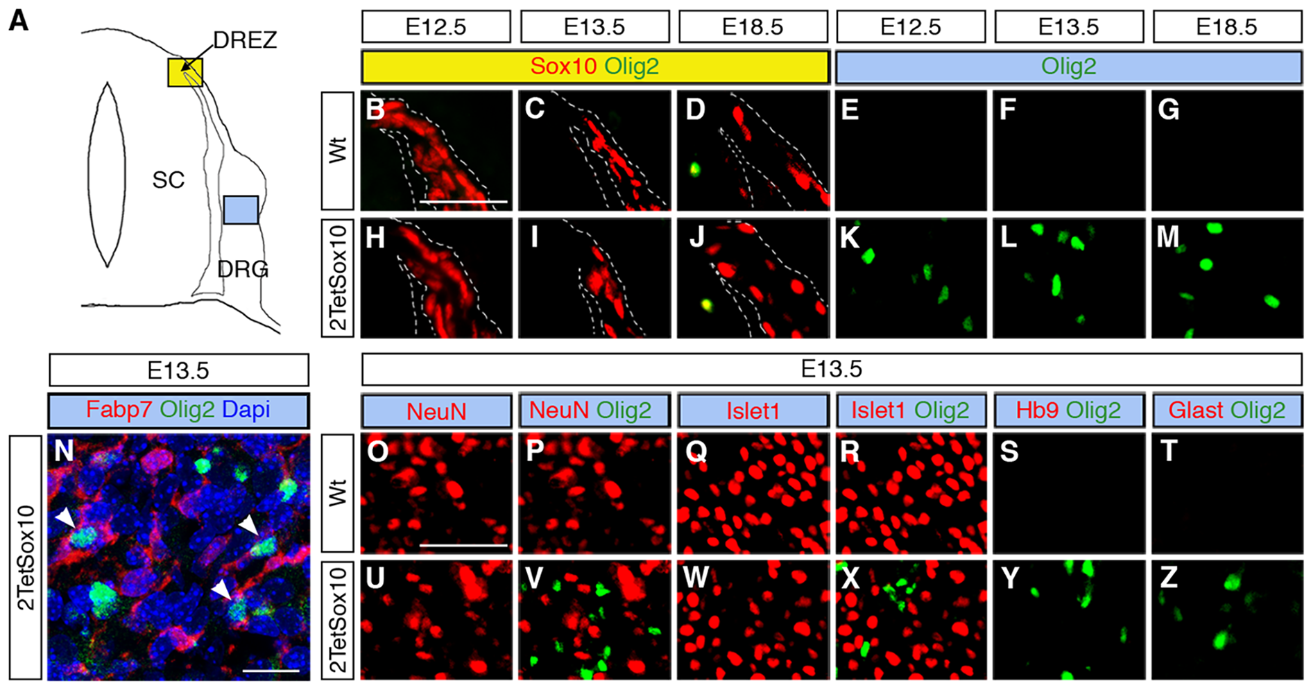 Ectopic Olig2-positive cells in the DRG express peripheral glial, but not neuronal or astrocytic marker and are not derived from boundary cap cells.