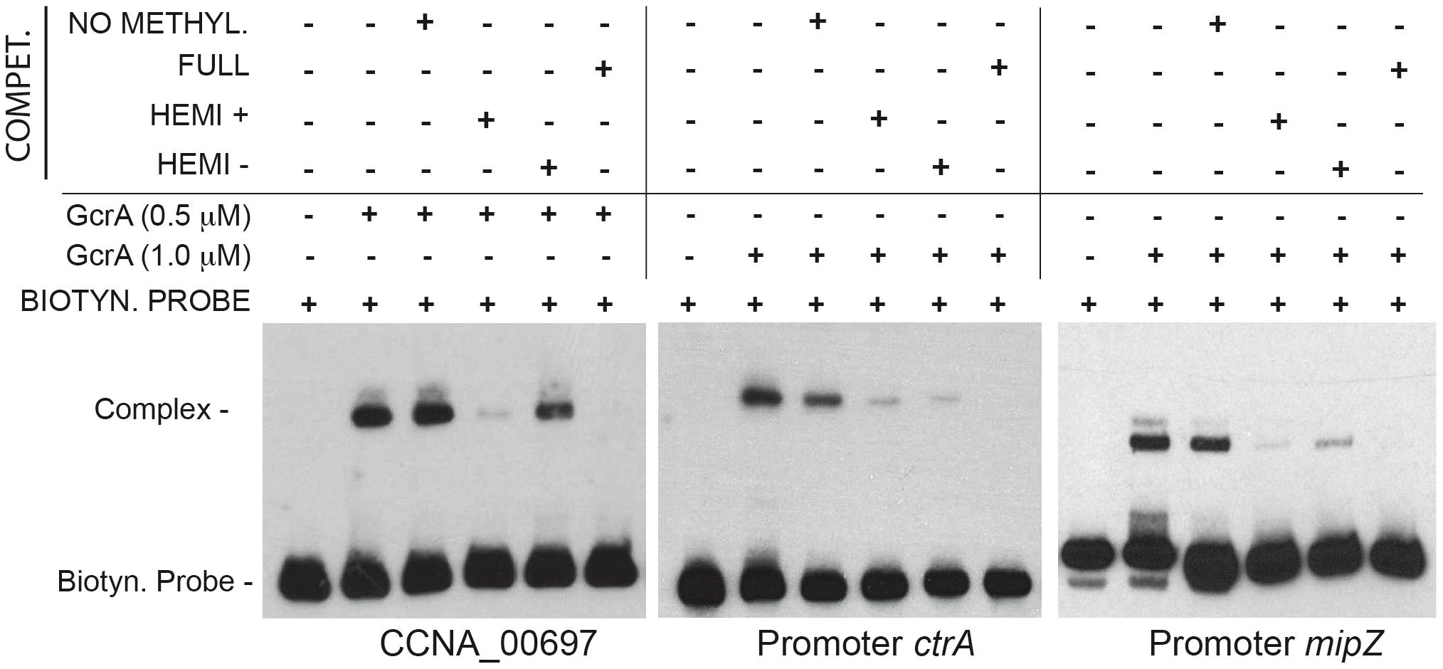 GcrA DNA binding depends on CcrM methylation state.