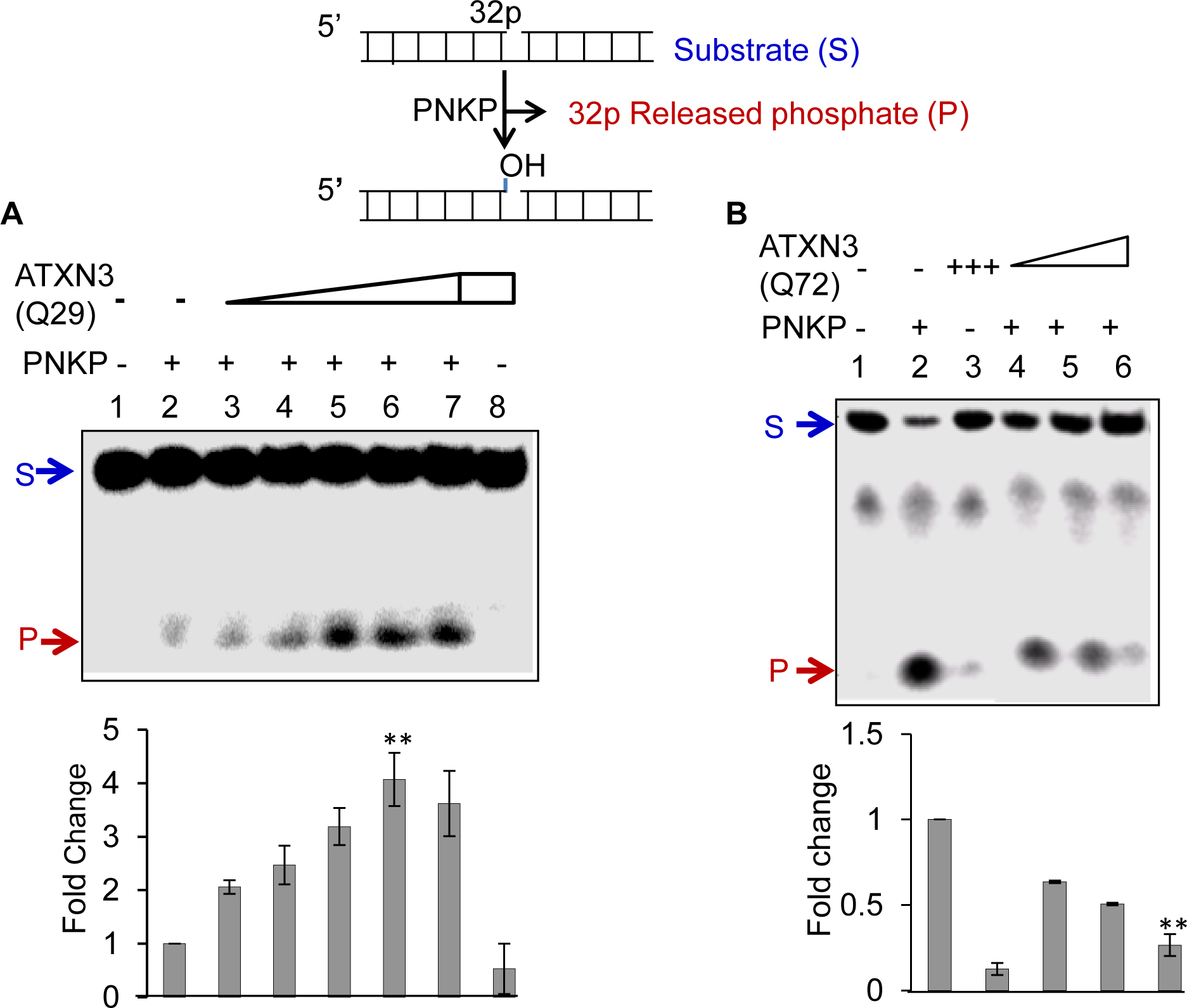 Effect of WT (Q29) or mutant (Q72) ATXN3 on PNKP's 3'-phosphatase activity.