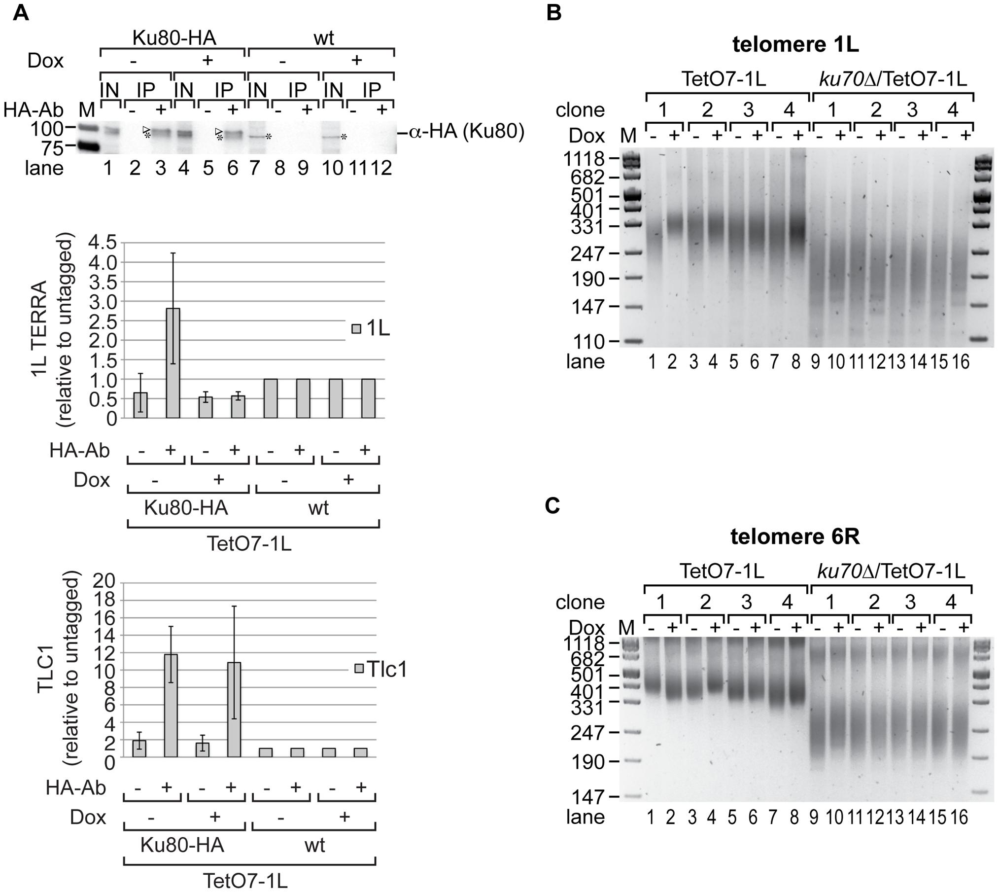 Ku70/80 binds TERRA and <i>ku70</i>Δ suppresses the shortening of telomere 1L upon 1L TERRA expression.