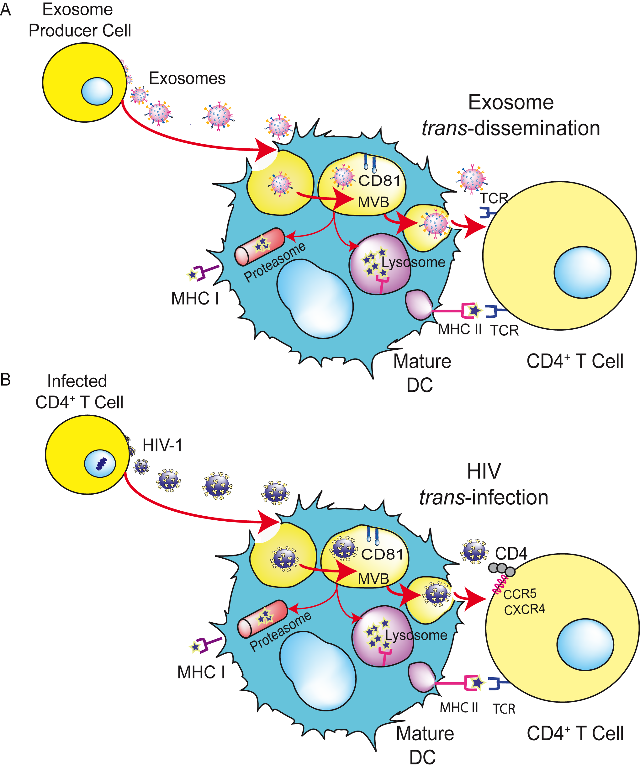 HIV can exploit a preexisting exosome <i>trans</i>-dissemination pathway intrinsic to mDCs, allowing the final <i>trans</i>-infection of CD4<sup>+</sup> T cells.