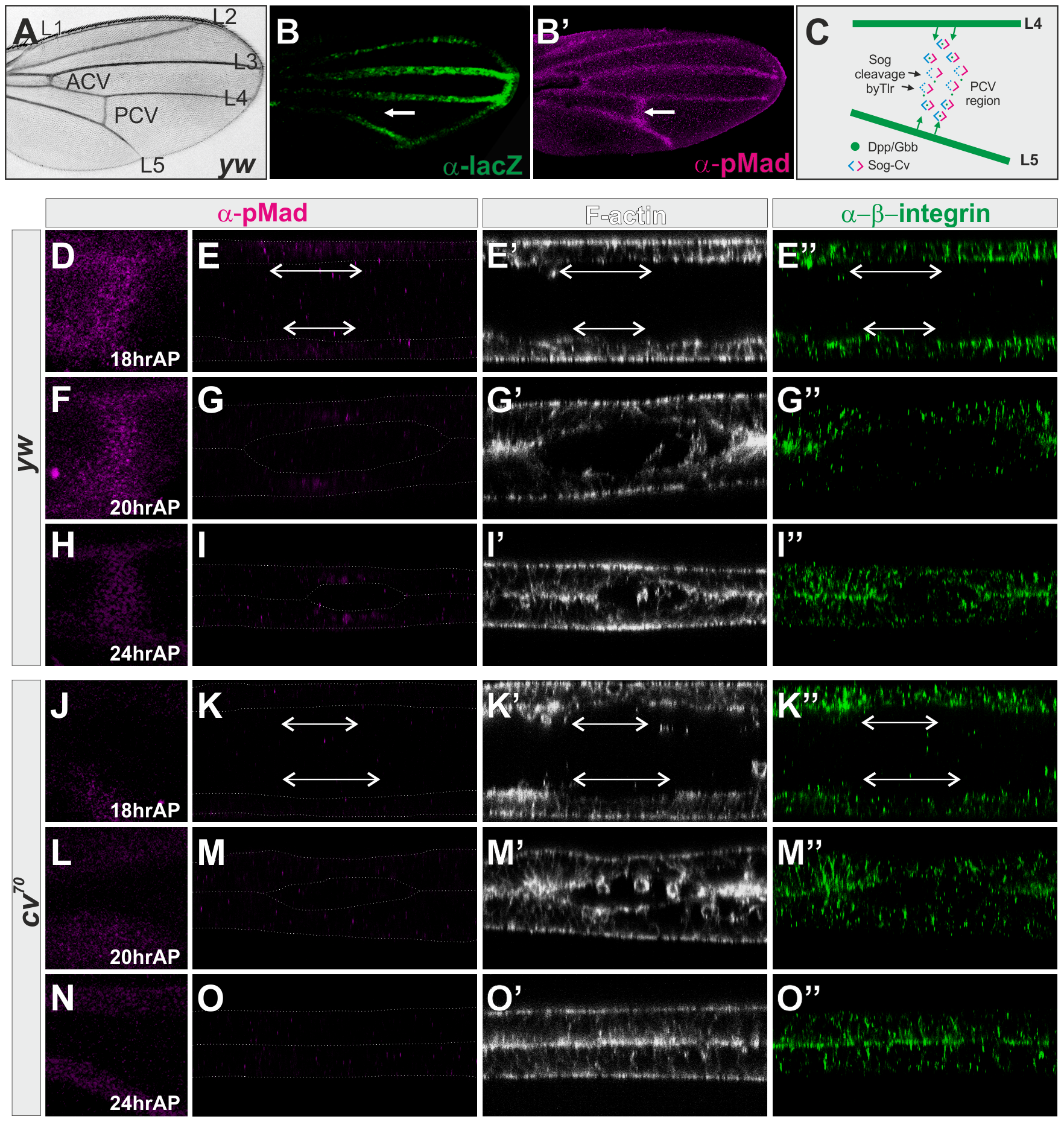 BMP signaling is required for PCV morphogenesis.