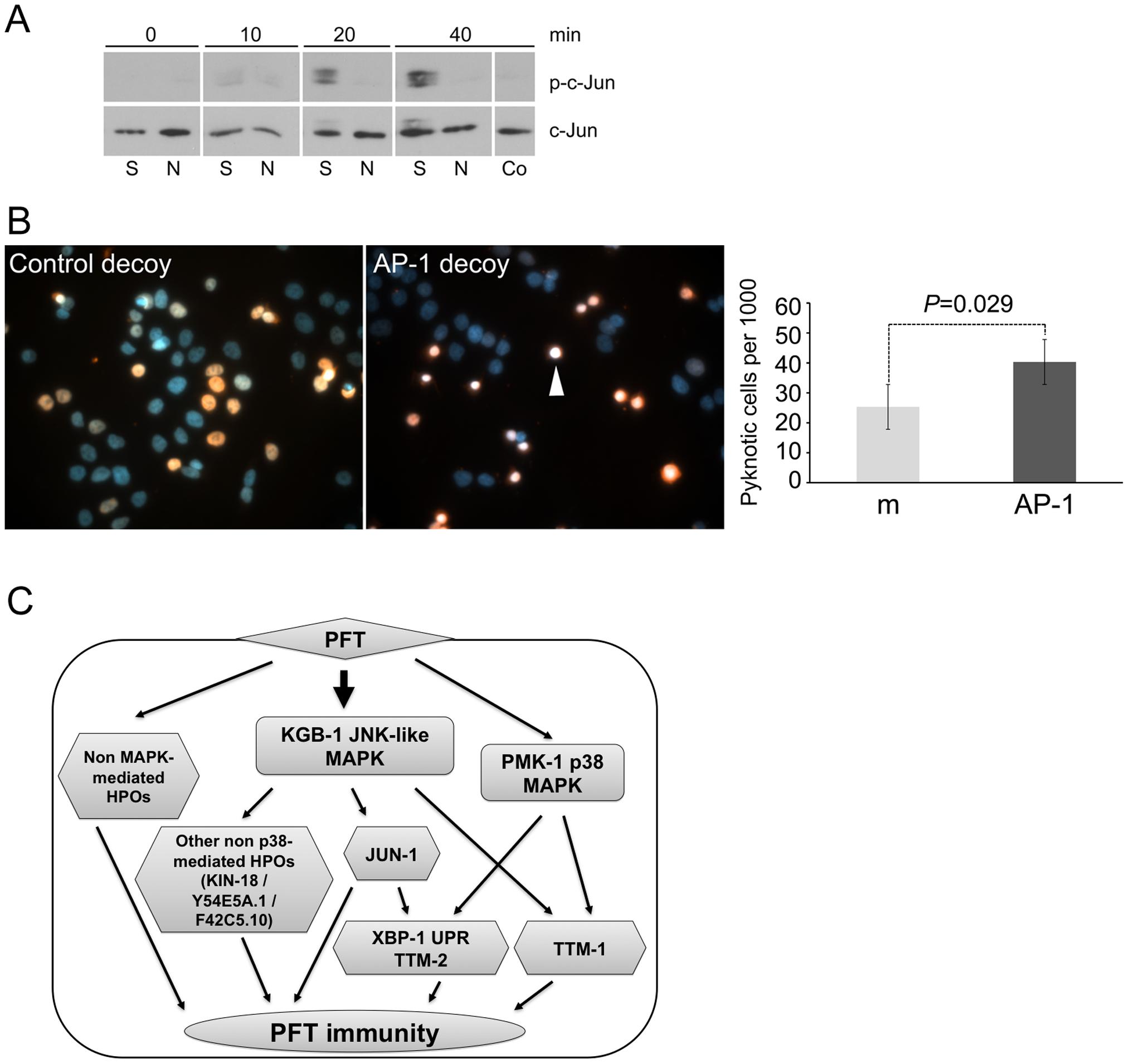 AP-1 protects against mammalian PFTs.