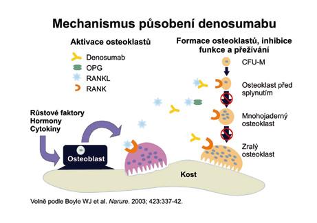 Vysvětluje mechanizmus, kterým protilátka proti RANKL brání dozrávání osteoklastů.