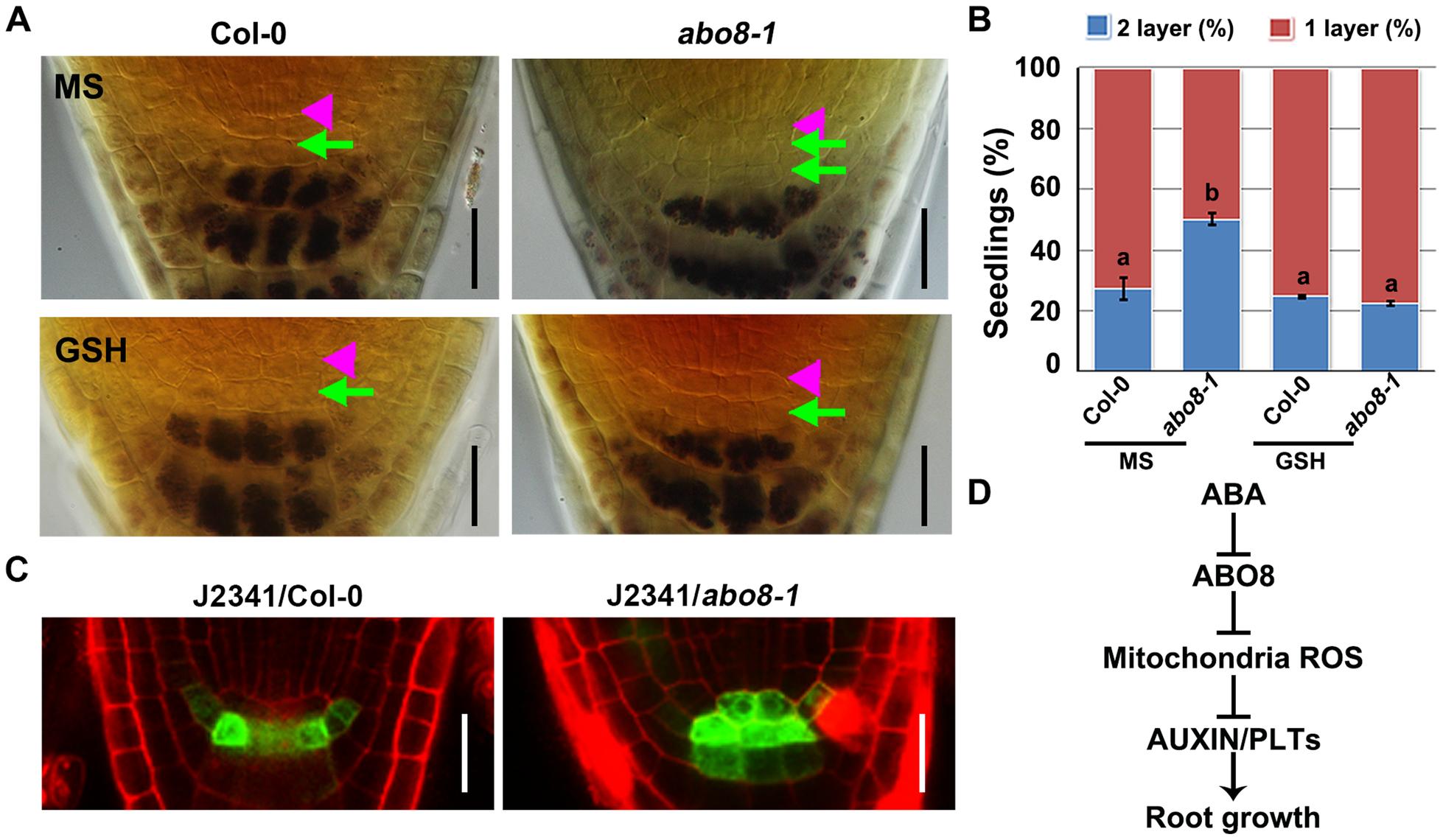 <i>abo8</i> mutation delays the distal stem cell (DSC) differentiation.