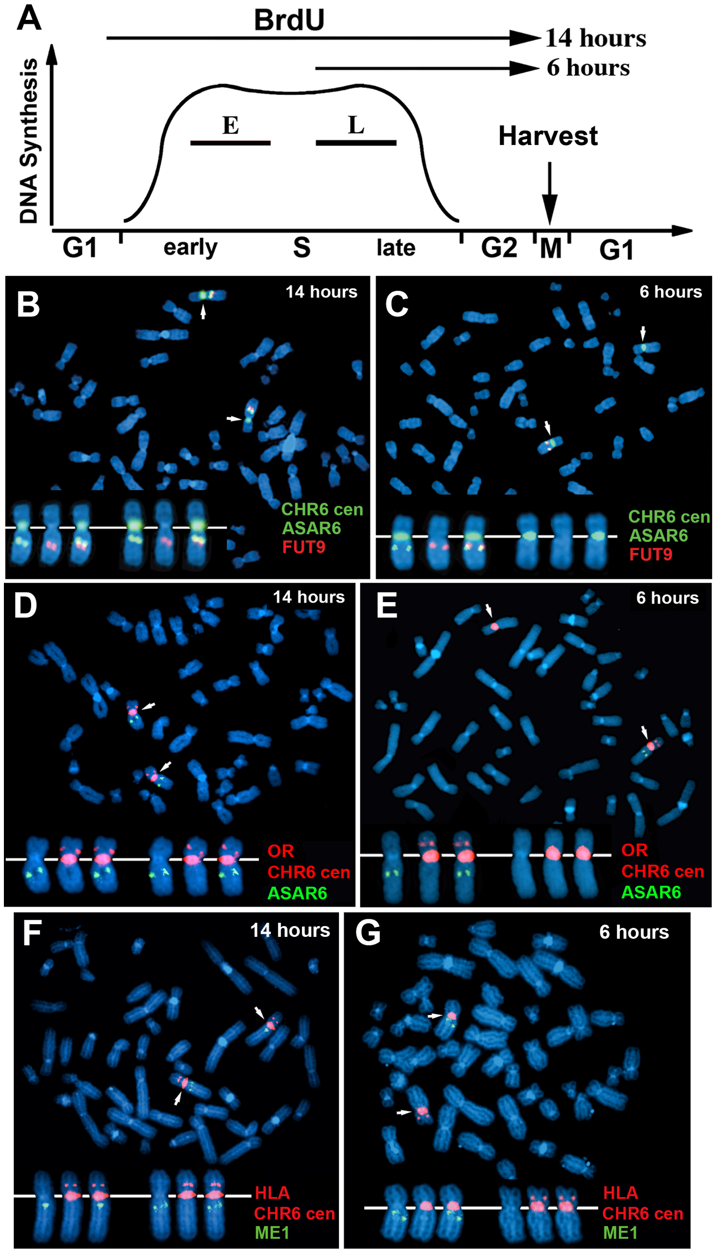 Coordinated asynchronous replication timing on chromosome 6.