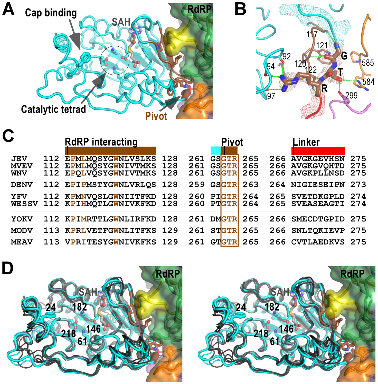 The MTase domain of flavivirus NS5.