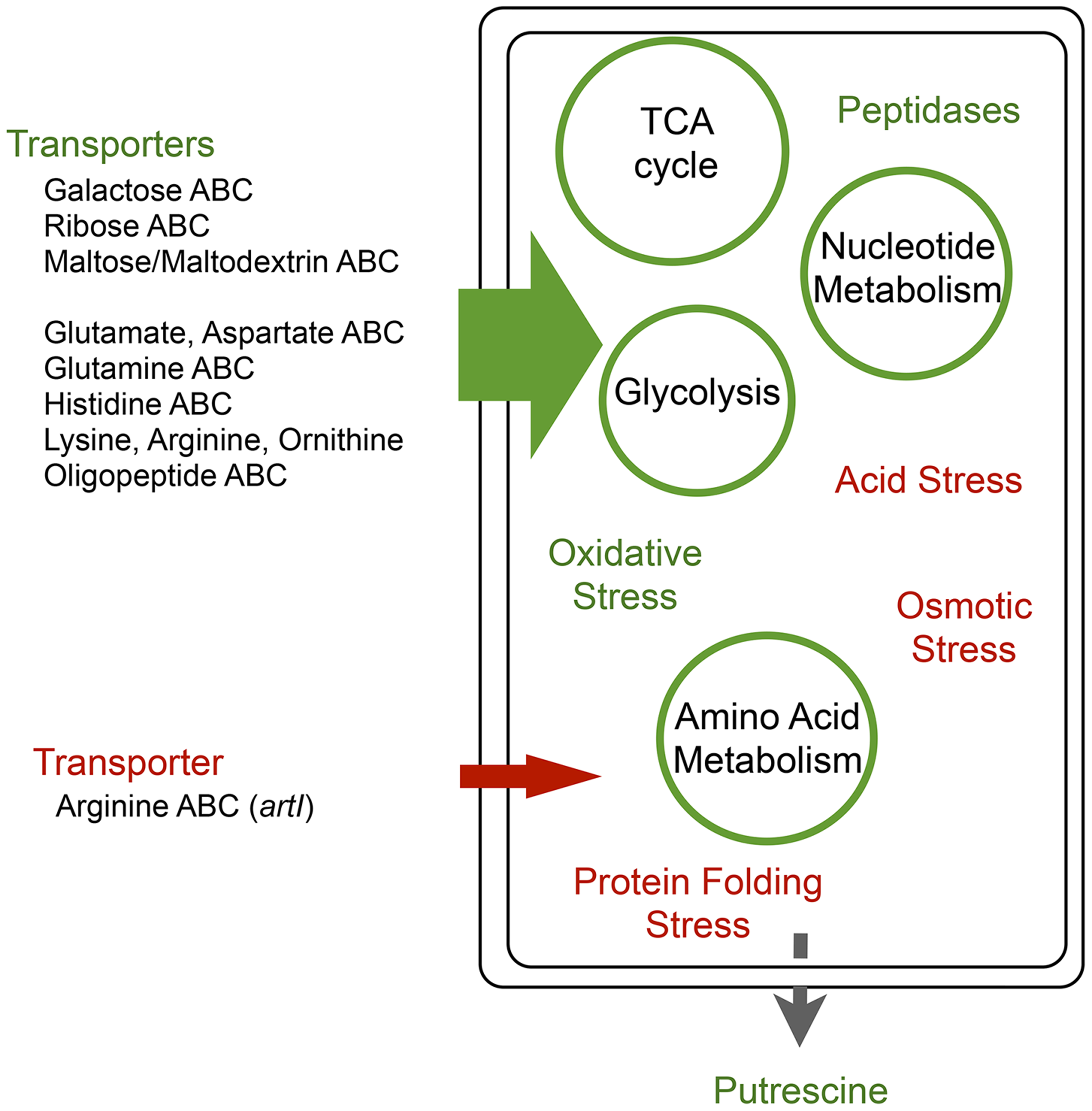 Global regulators <i>arcA</i> and <i>rpoS</i> provide a comprehensive metabolic shift during adaptation that circumvents epistatic bottlenecks.