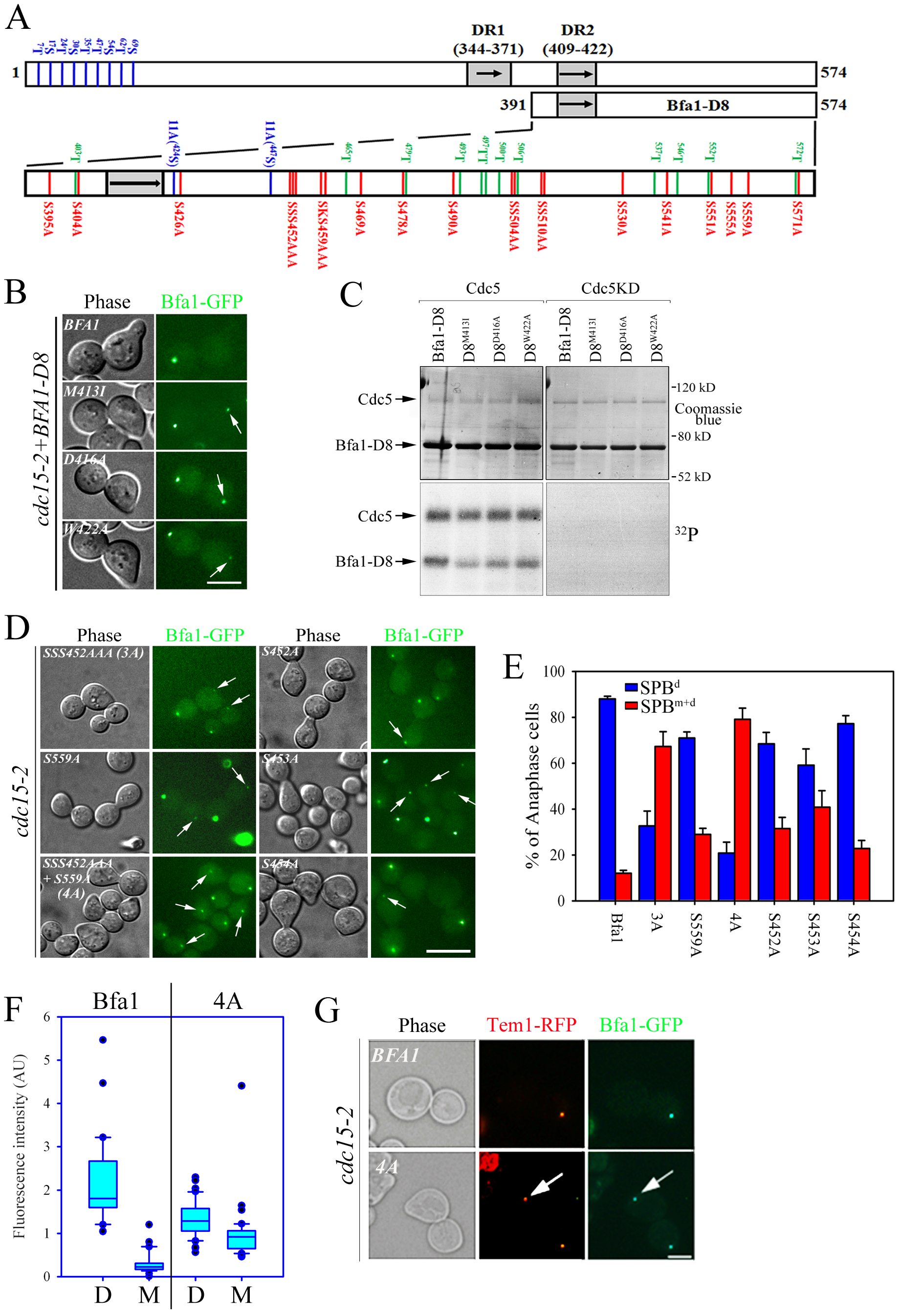 Identification of putative phosphosite(s) regulating the asymmetric localization of Bfa1.