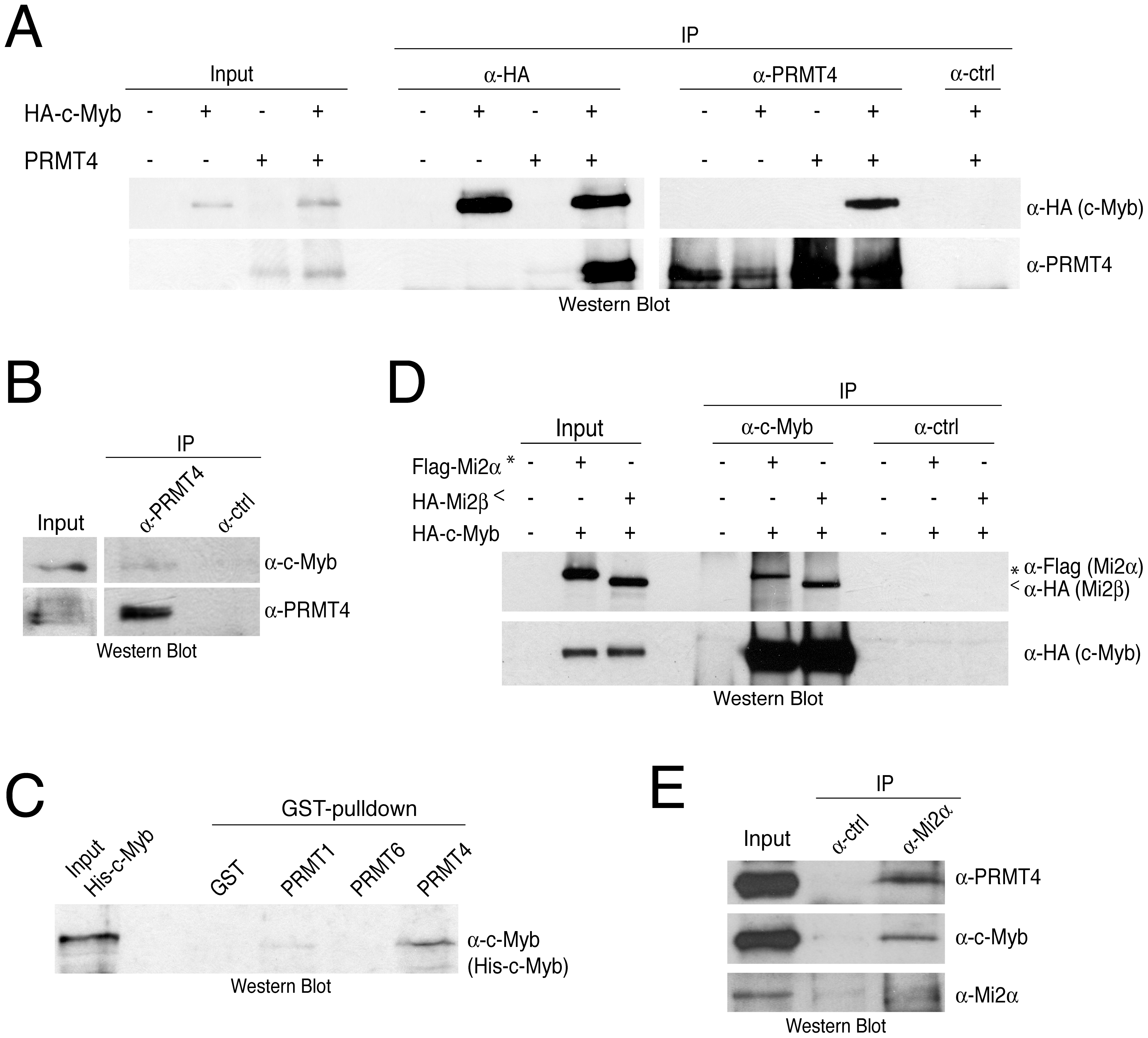 PRMT4 and Mi2 interact with the transcription factor c-Myb.