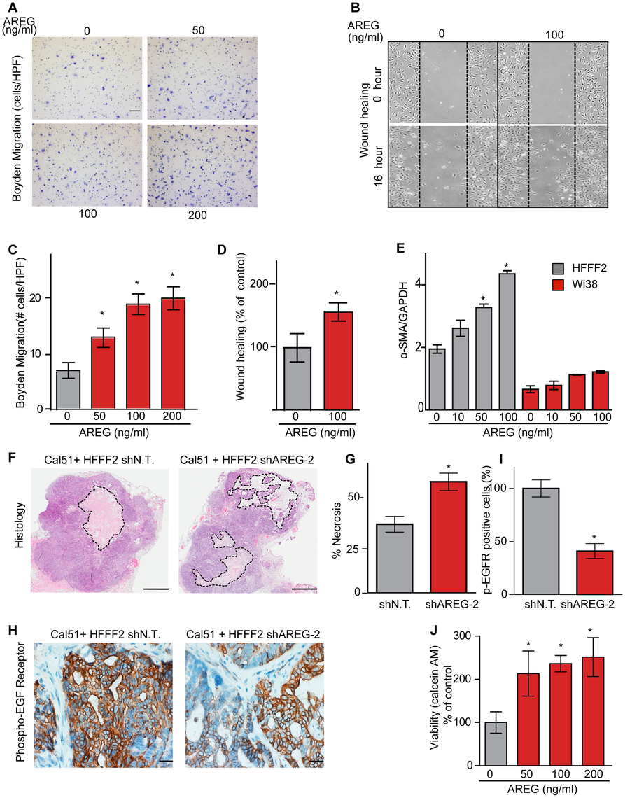 Amphiregulin is a chemoattractant for fibroblasts and helps prevent necrosis and tumor cell death.