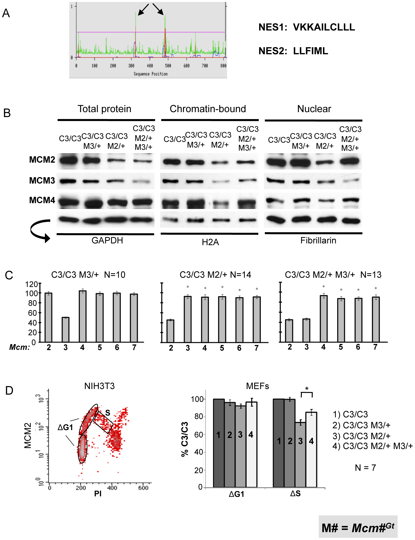 MCM3 regulates nuclear and chromatin-bound MCM levels.